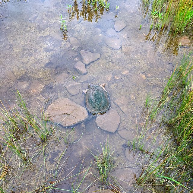In these parts you have to be careful about what you think is a rock... #turtlegram #wildlifepics #notarock