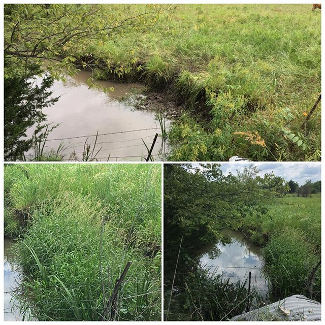 The healing power of animals + recovery never ceases to amaze us. We have targeted this stream's sharp cuts for softening, to stabilize its banks, reduce erosion, improve habitat for aquatic life, and generally create a more pleasing view and access for all creatures. Top photo was just after grazing, Sept. 2016, a herd of a hundred or so cattle in about a 5 acre paddock, for 1-2 days. It looks terrible! Bottom photos, today. (This paddock has had 2 grazes since, 1 winter and 1 spring. It is ready for another, in just a few days!) @savoryinstitute #holisticplannedgrazing #holisticmanagement #grassfordays #somuchgreen #biodiversity