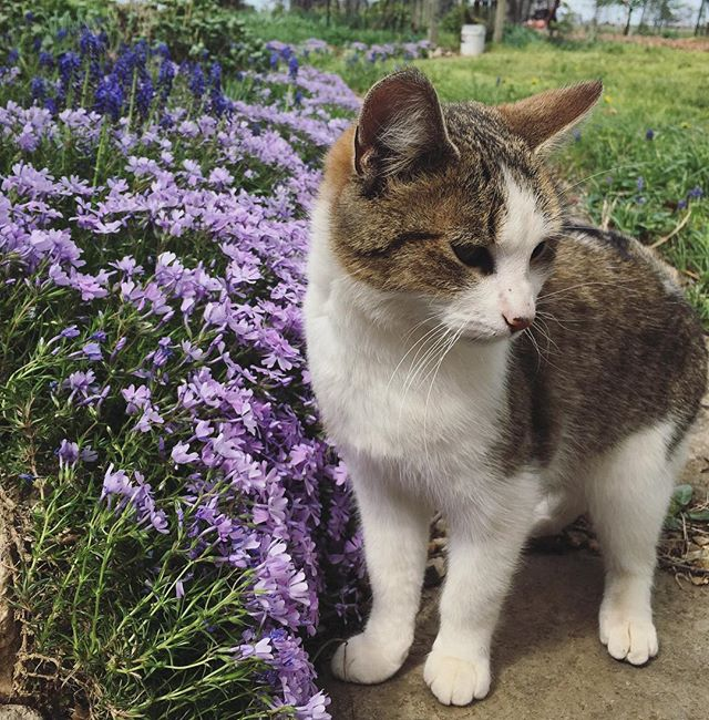 Humphrey says Happy Easter! 🥚🌺💐 #farmlife #farmcat #springblooms