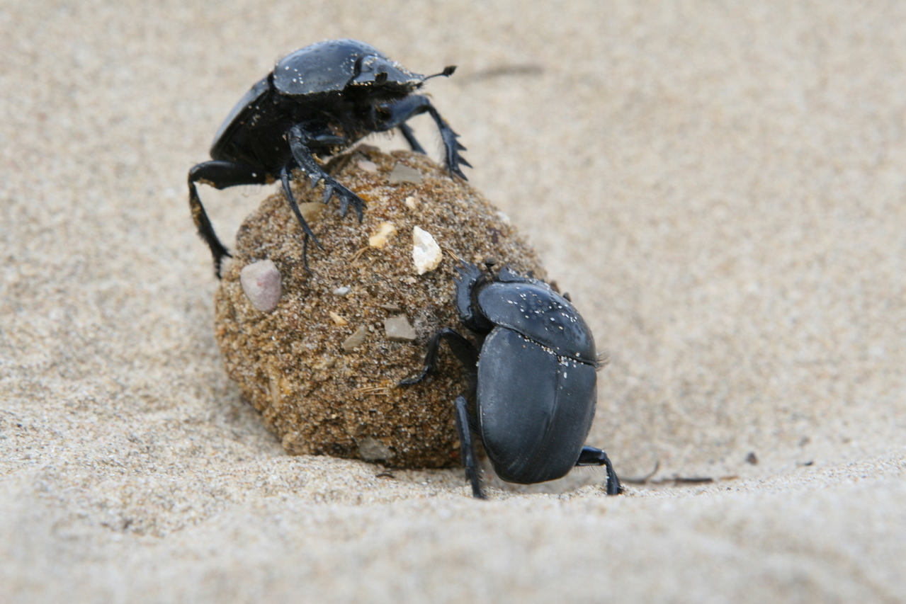 """Find out why Dung Beetles are your hardest-working livestock, and how to manage them for whole-operation health and profitability, at """"From Poop to Profits,"""" July 1-2, 2019."""