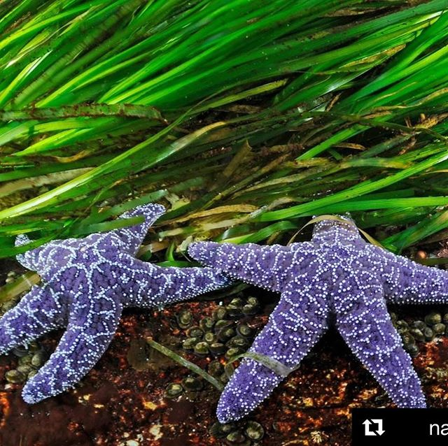 What a reminder of the infinite wonder of our natural world. When something this gorgeous pops up in your feed, sometimes you just gotta share! #seeingstars #holisticliving #holisticmanagement #Repost @natgeo with @get_repost ・・・ Photo by Thomas Peschak @thomaspeschak | Most people think of sea stars as beautiful but lowly creatures of little ecological consequence. Nothing could be further from the truth! Like miniature lions or wolves, the ochre sea stars pictured here are voracious hunters, preying on and even controlling mussel populations. Legendary ecologist Bob Paine called ochre sea stars keystone predators,  their presence or absence significantly impacting the intertidal ecosystems they inhabit. In 2013 a mysterious wasting disease afflicted them in the Pacific Northwest and quickly the disease severely decimated populations from Alaska to Mexico. Fortunately sea star populations are now showing signs of recovery, with juveniles colonizing some rocky shores in great numbers. However, it will probably take another five years before the recovery is complete. To experience more underwater photographs and discover other marine keystone species follow @thomaspeschak