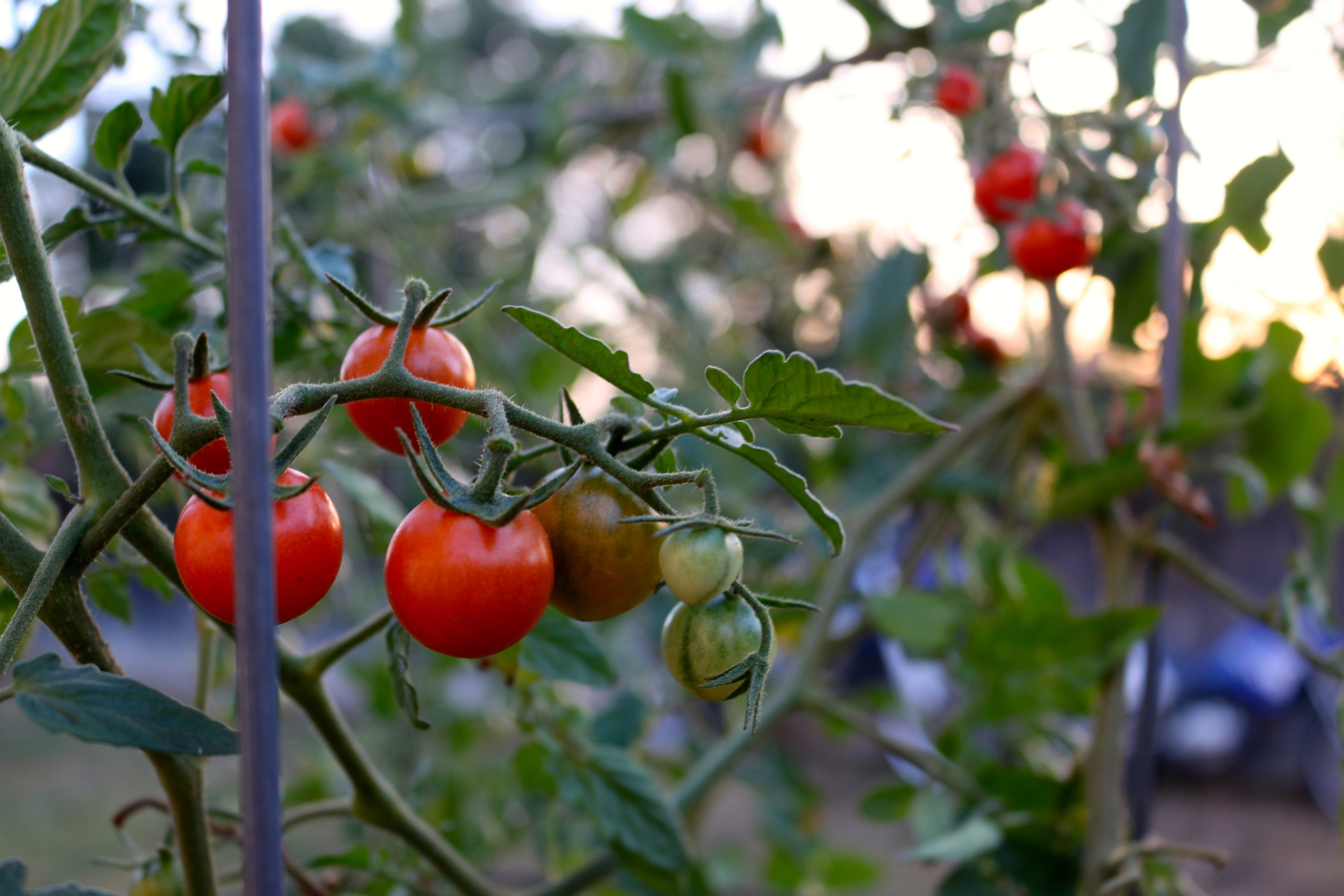 My volenteer tomatoes taste just like candy and are already bursting with tomatoes.