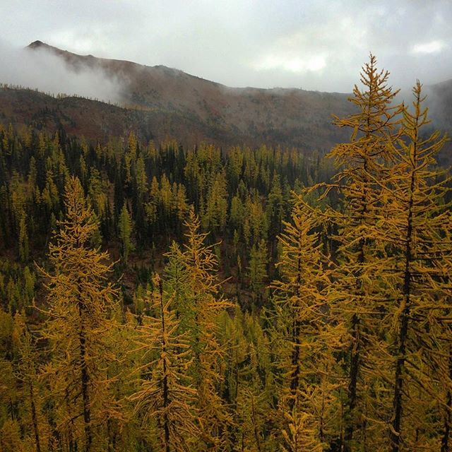 Washington's fall larches