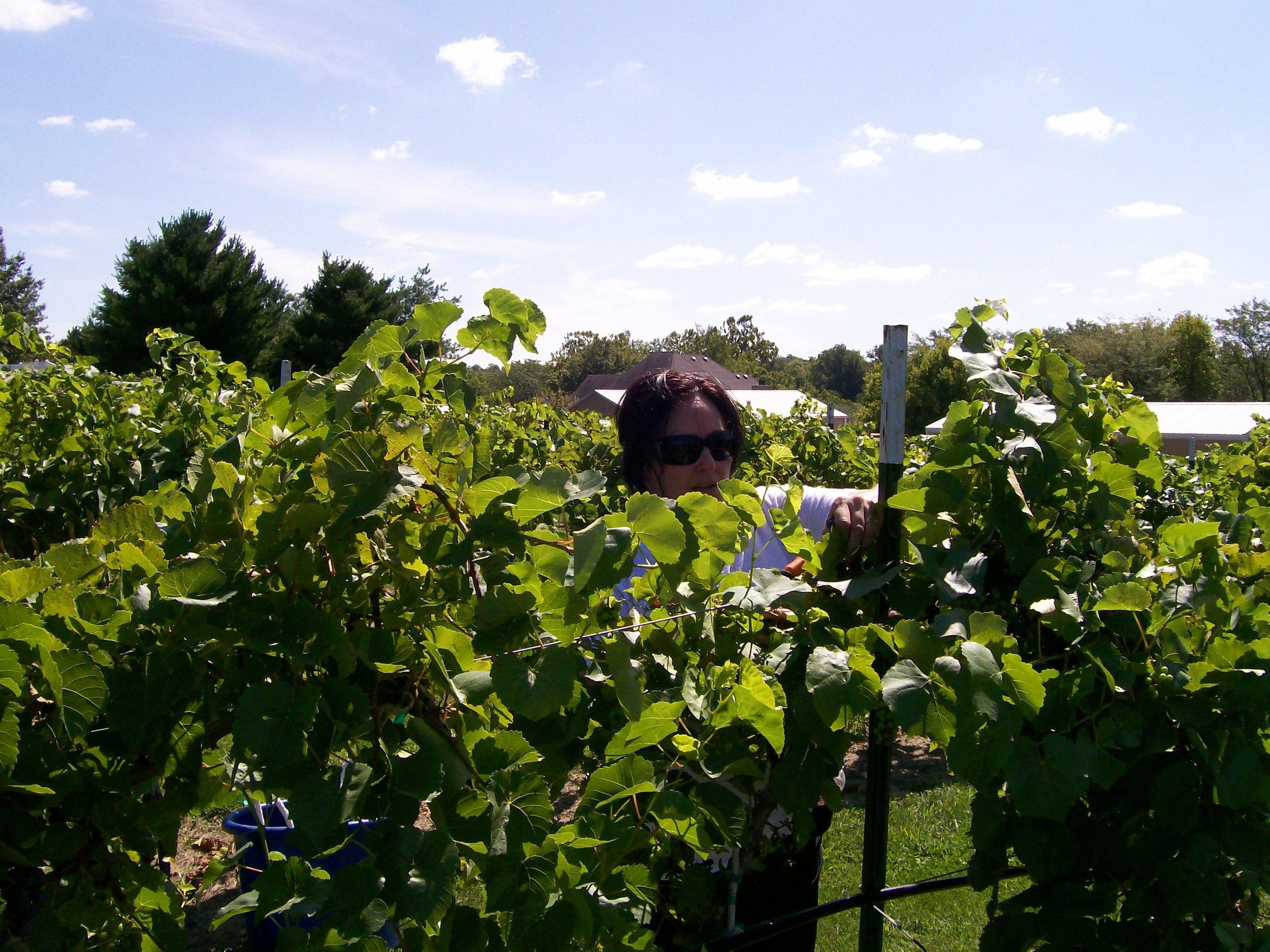 First harvest September 8 2011 008.JPG