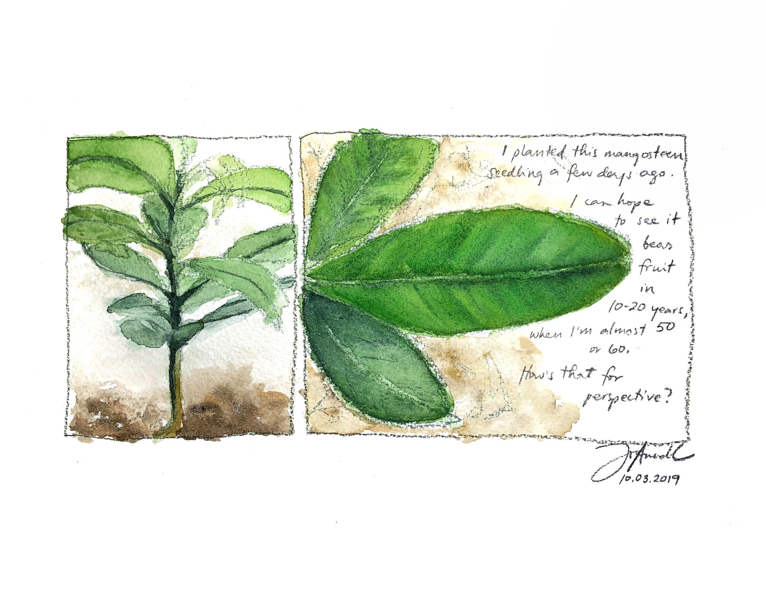 a mangosteen seedling