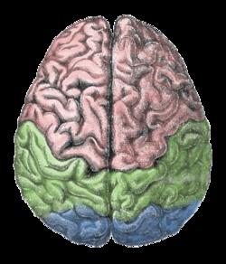 Cerebral_lobes.png