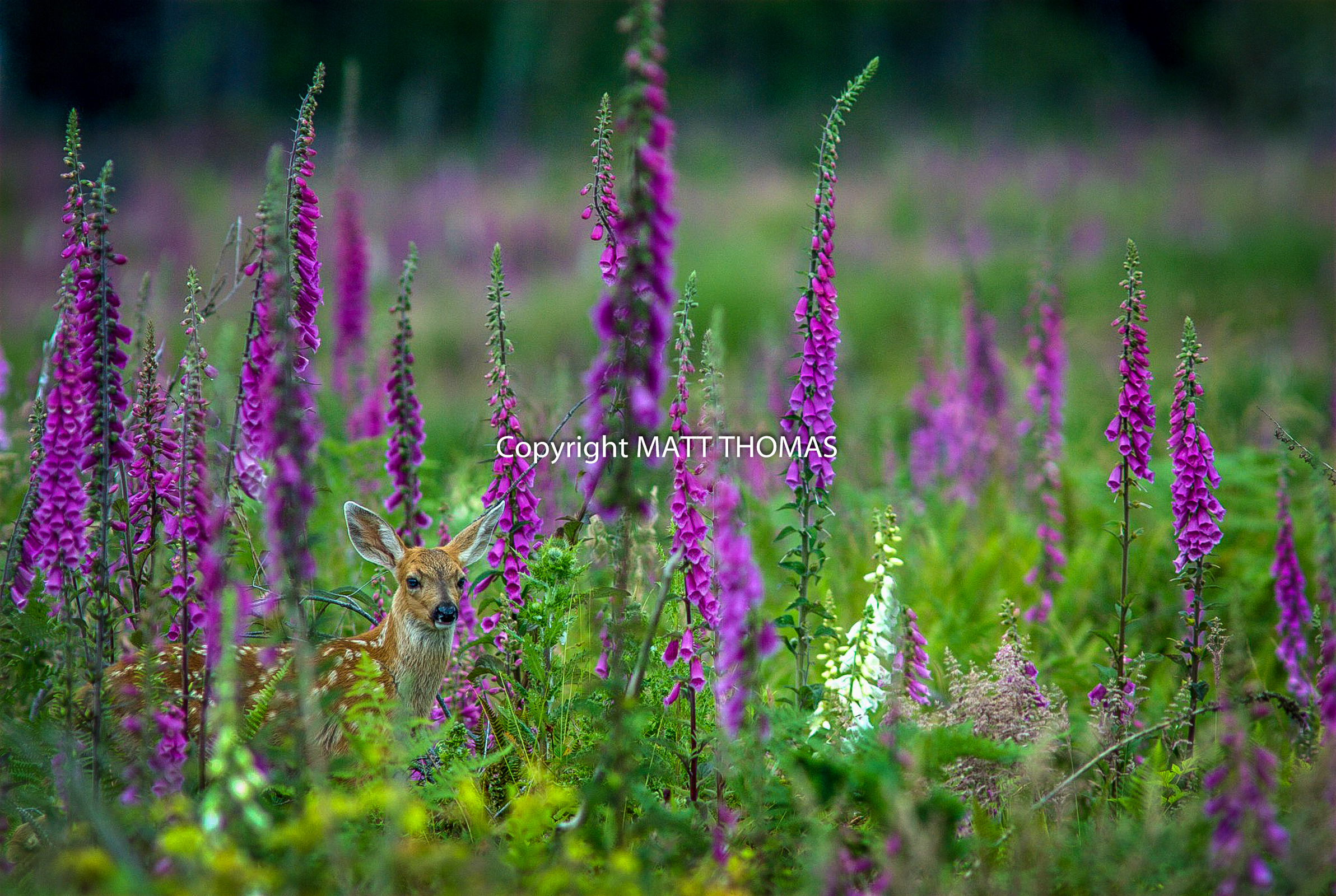 Fawn in Foxgloves