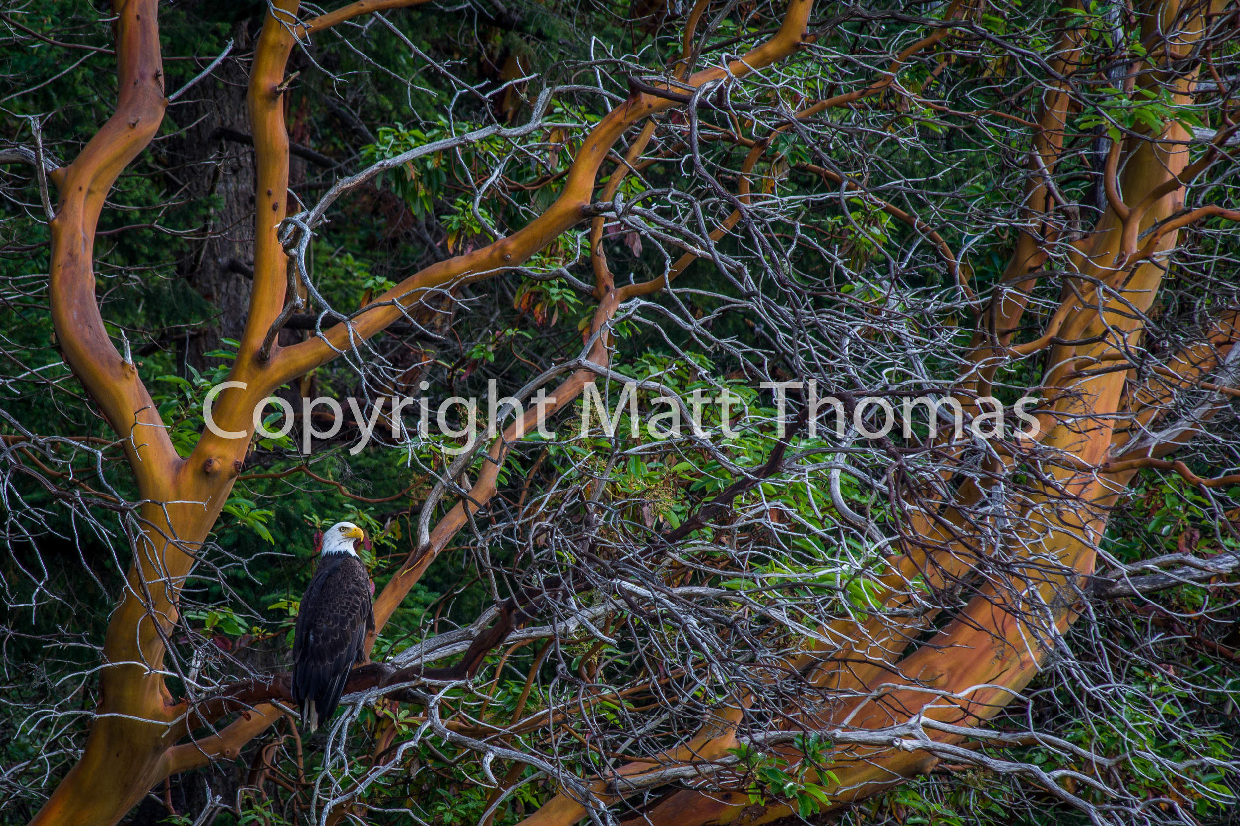 The Eagle And The Madrone-3