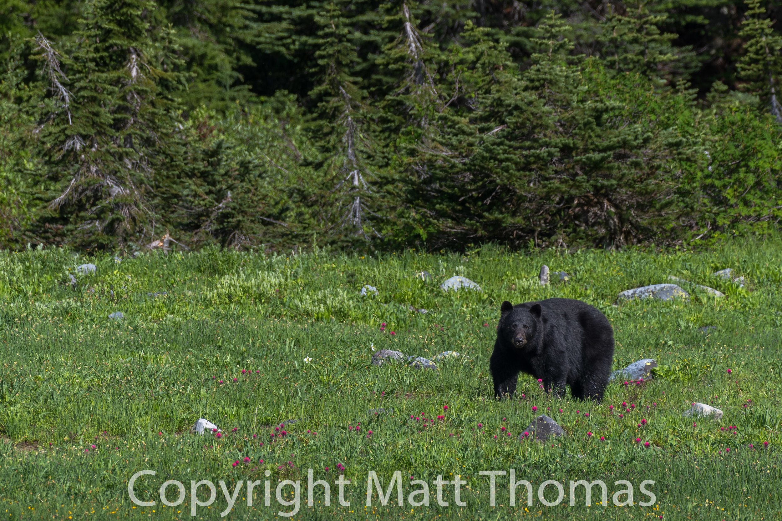 Black Bear and Indian Paintbrush