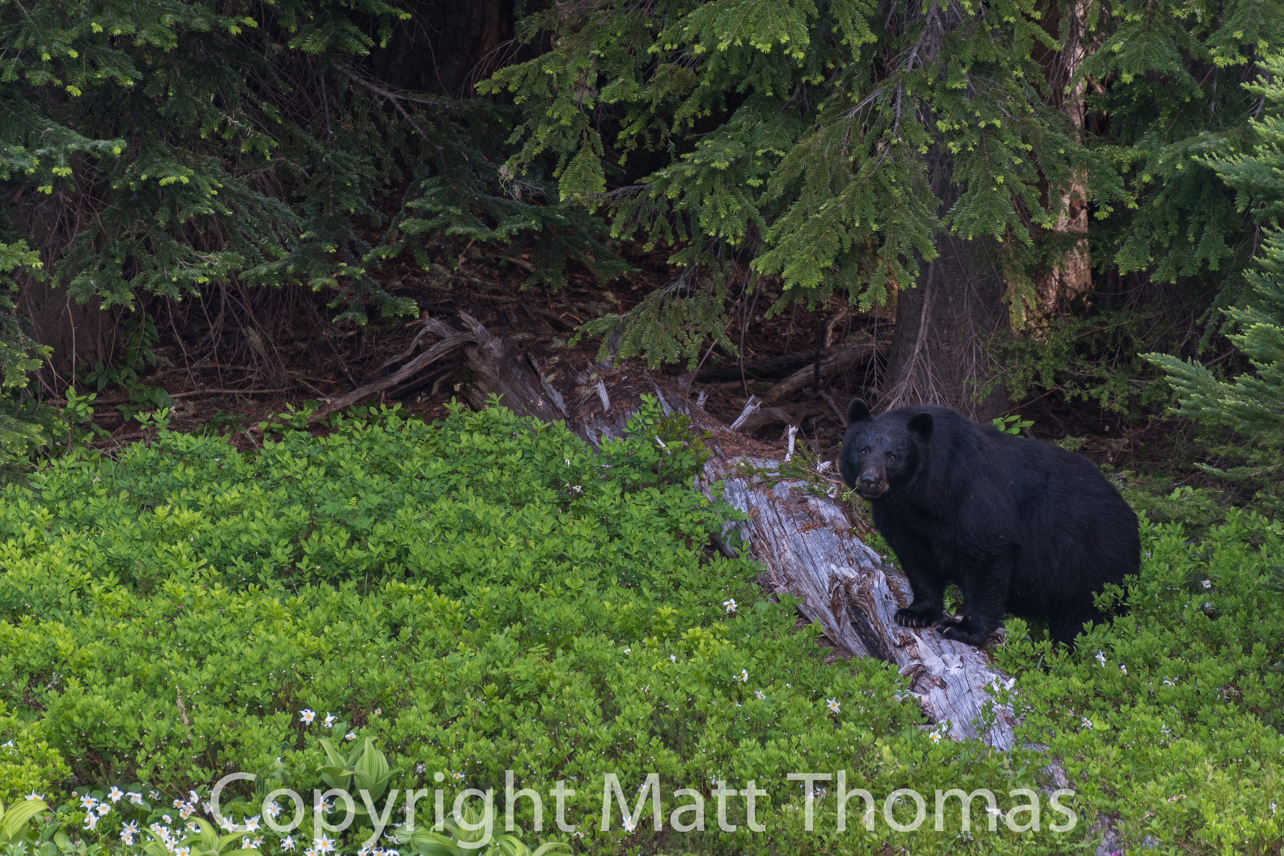 Black Bear on a log