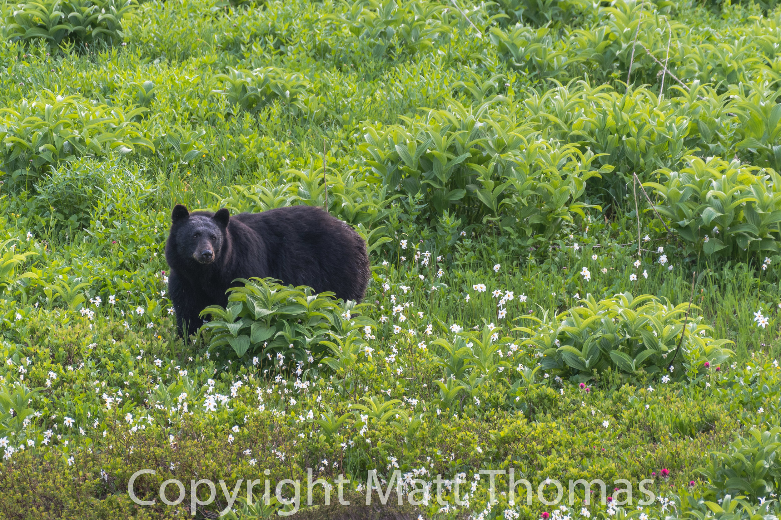 Black Bear and  Avalanche Lilies