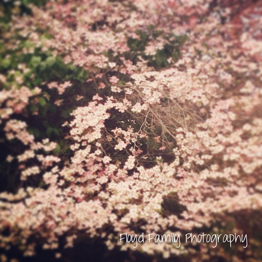 pretty pink flowers on a tree on Main Street | Placerville-Children-Photographer