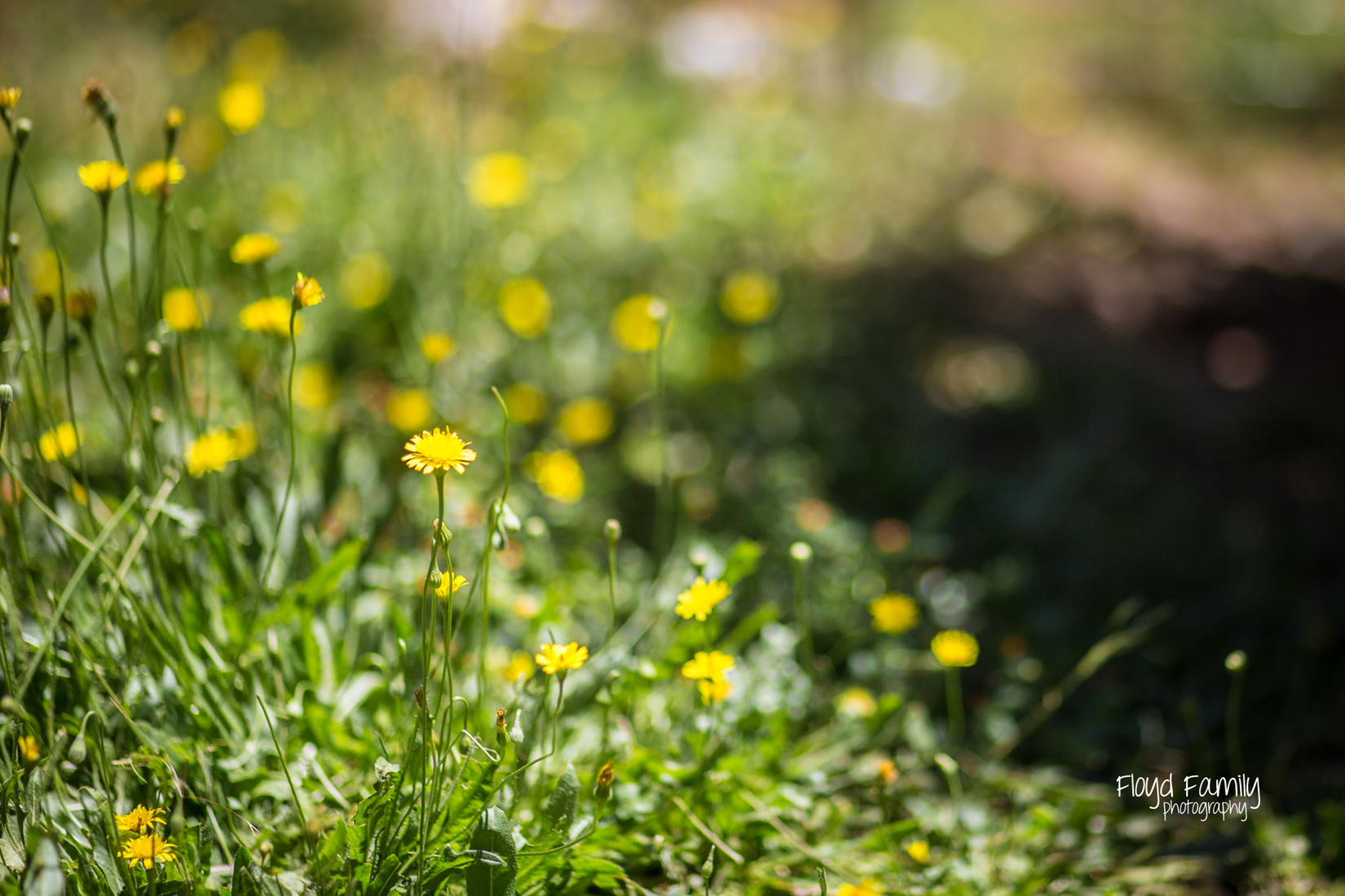 pretty yellow dandelions | Placerville Family Documentary Portraits