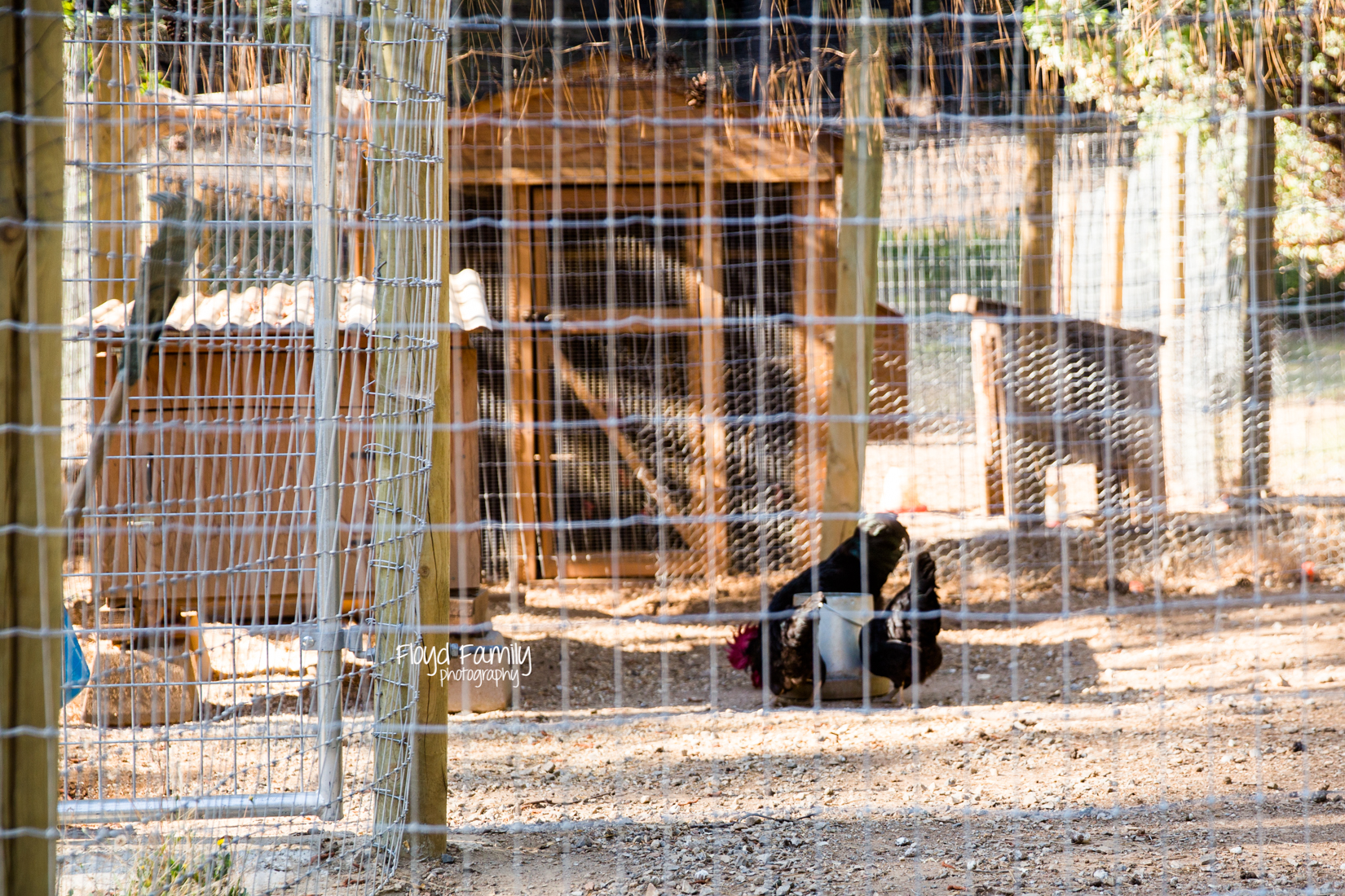 Chickens eating food | Placerville Children Documentary Photographs