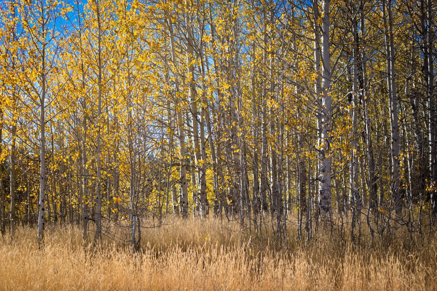 Pretty grove of Aspen trees in the fall in Hope Valley | Everyday El Dorado Hills Photographer