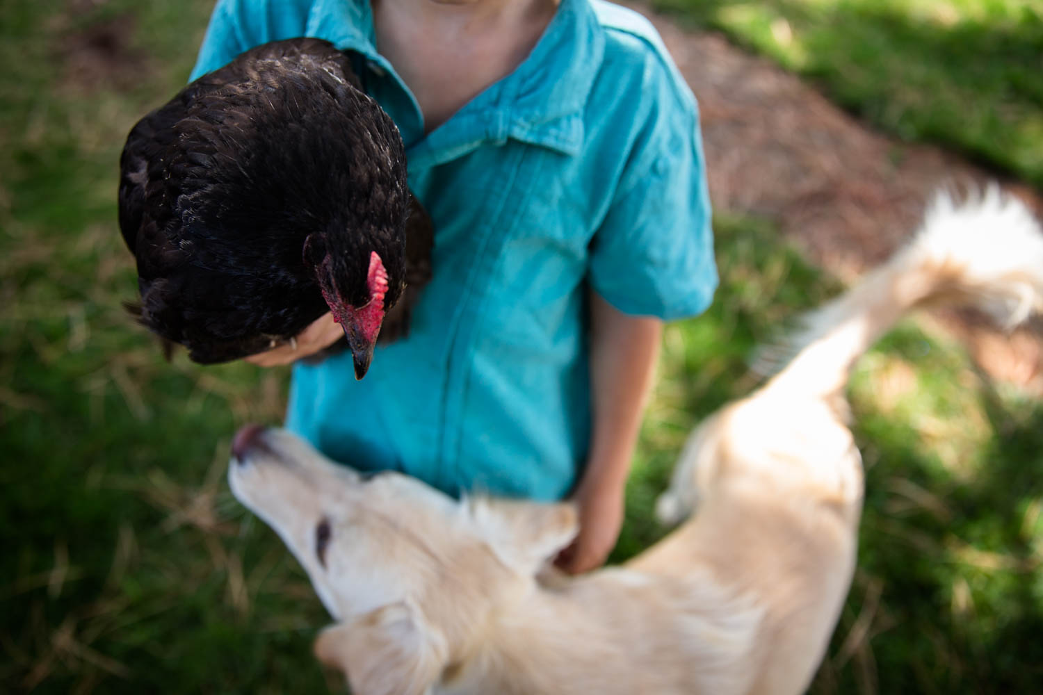 Little boy holding a chicken while dog looks on