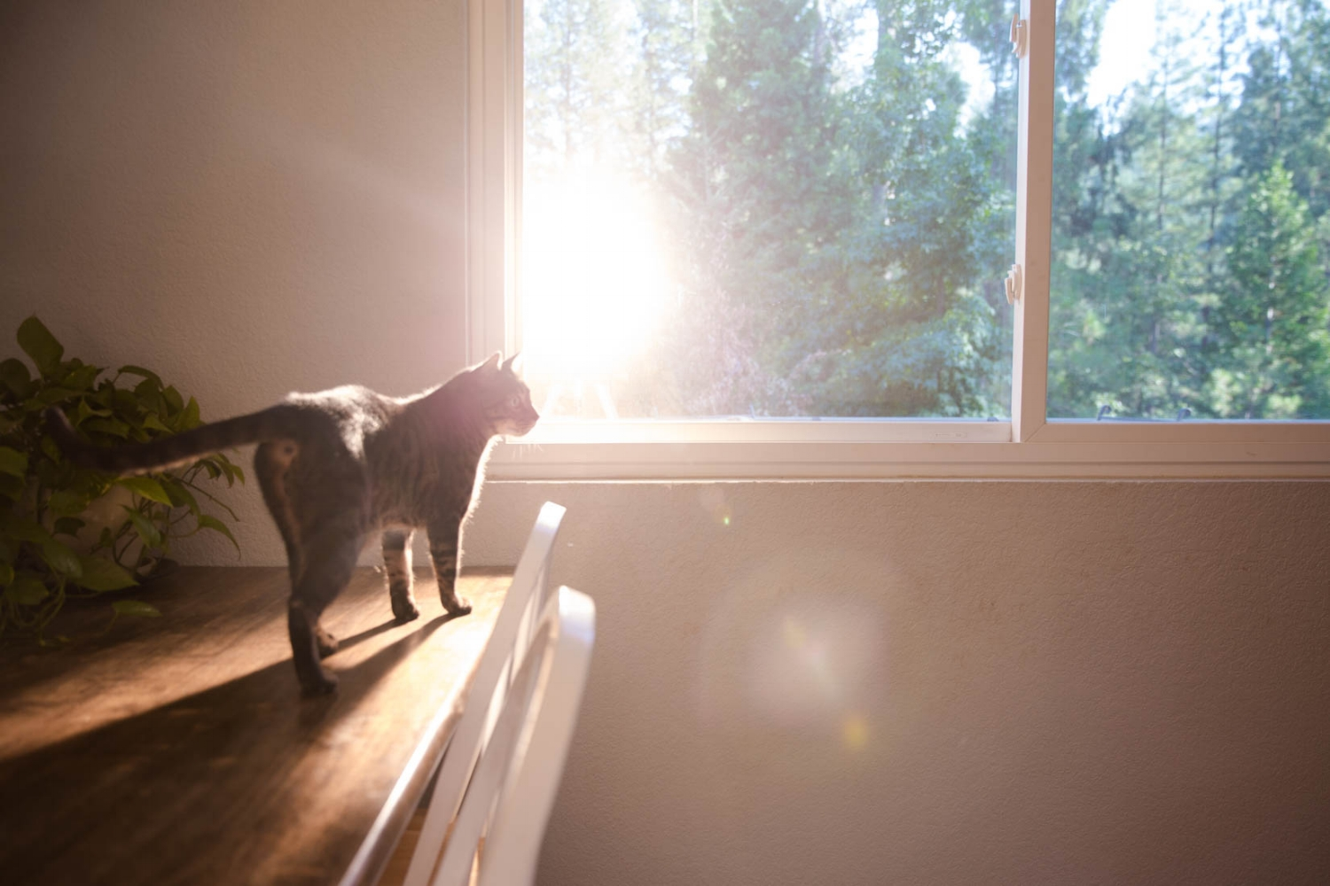 Cat standing in the standing on the kitchen table in front of the window with the sunset behind him.