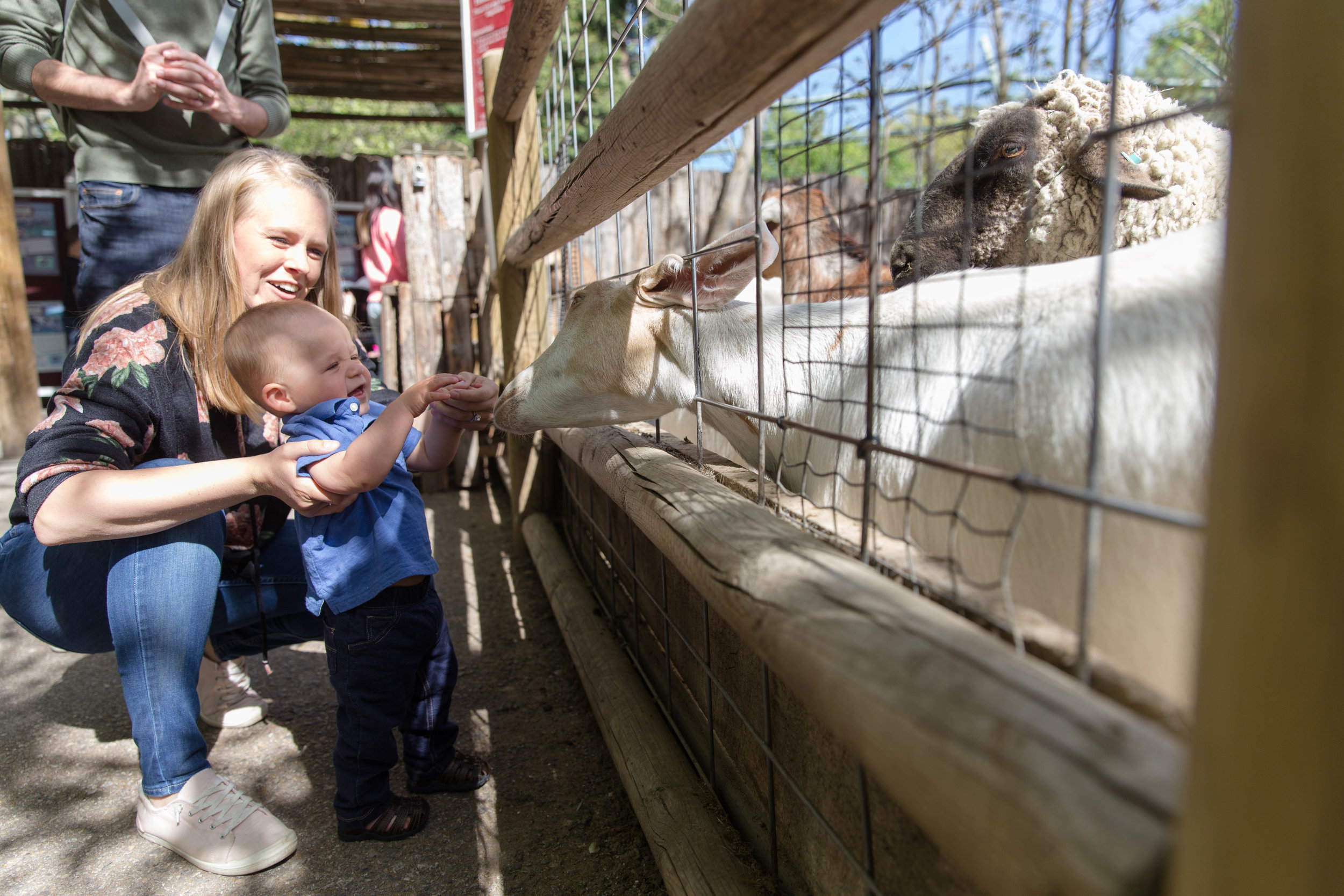 Mom helping her one year old son feed the goats while dad stands by. Goat poking his head through the fence to reach the food. Zoo Boise.