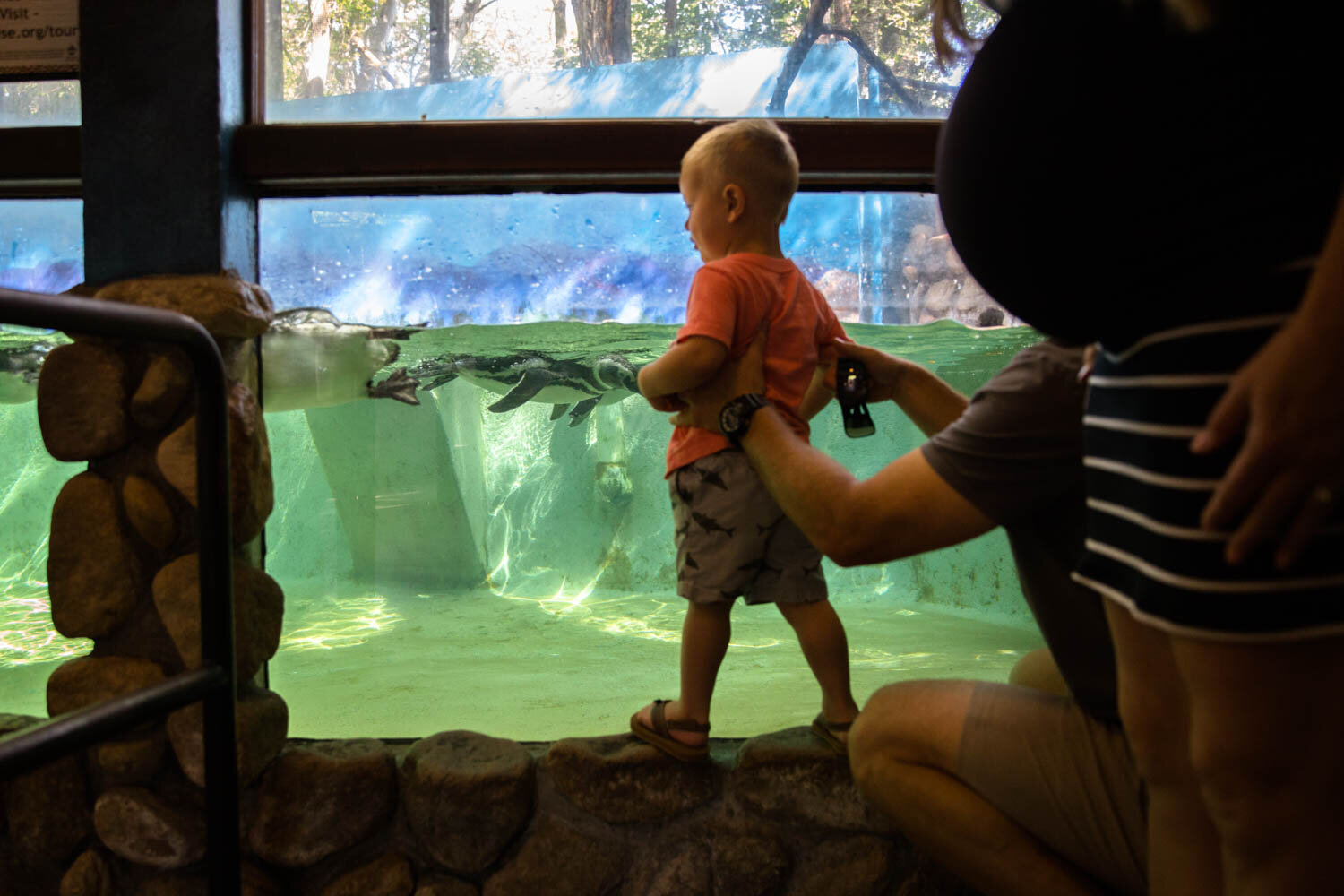 Small child being held up at the aquarium walls to watch the penguins swim. Dad holding him while pregnant mom stands just behind them showing off her belly.