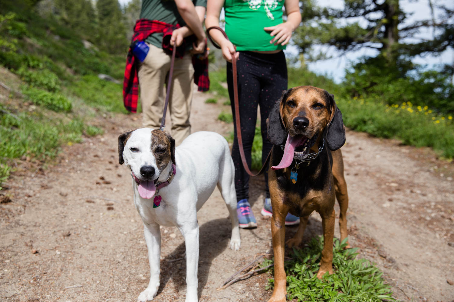 Two hounds standing with the family of two kids on a hike in the Bogus Basin mea of Boise Idaho. Dog with tongue standing out and kids waiting for next move.