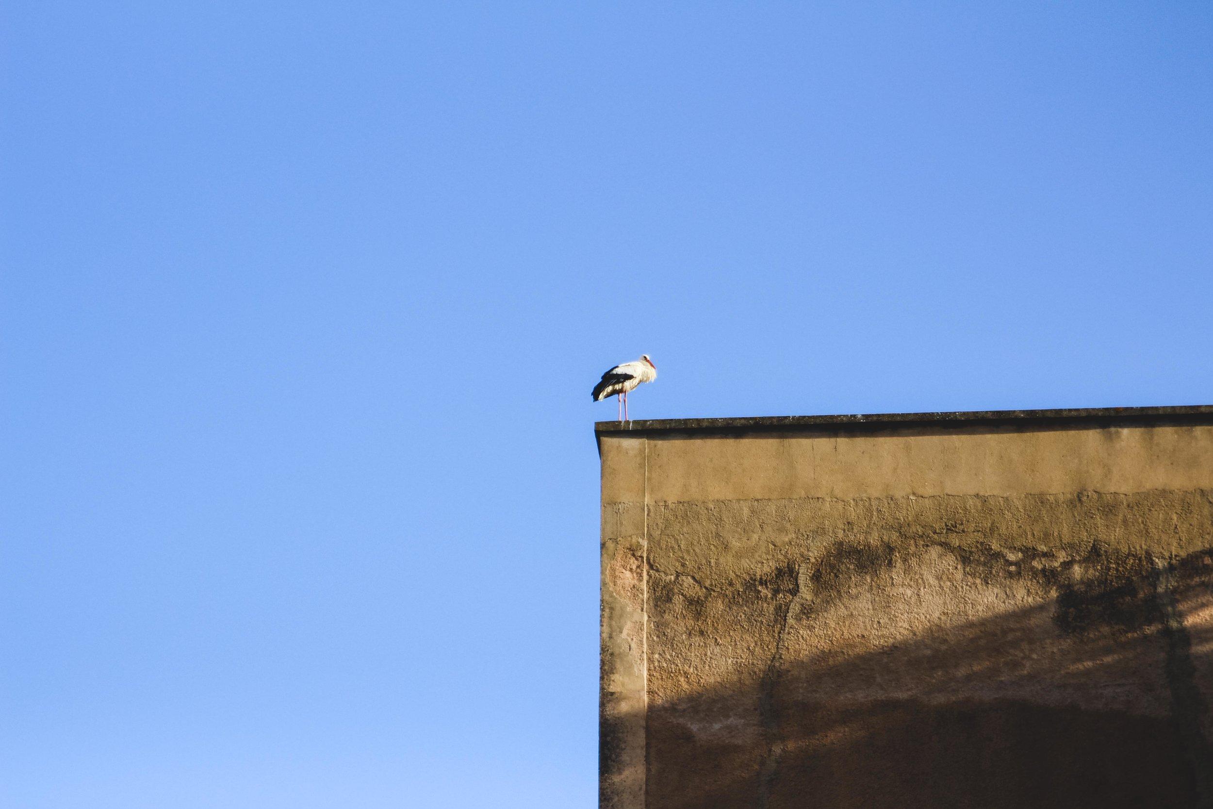 Faro is ook de broedplaats van vele ooievaars...