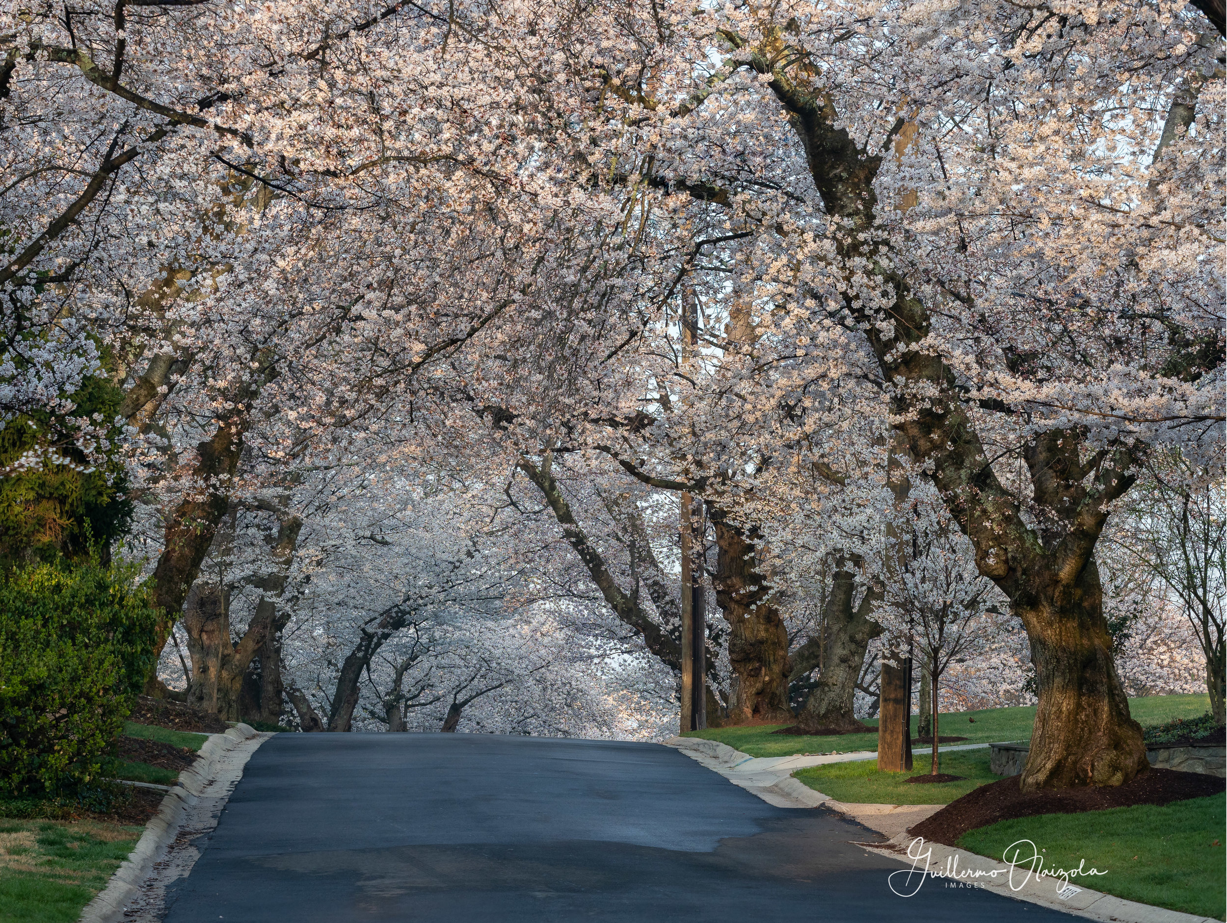 Kenwood Cherry Blossoms