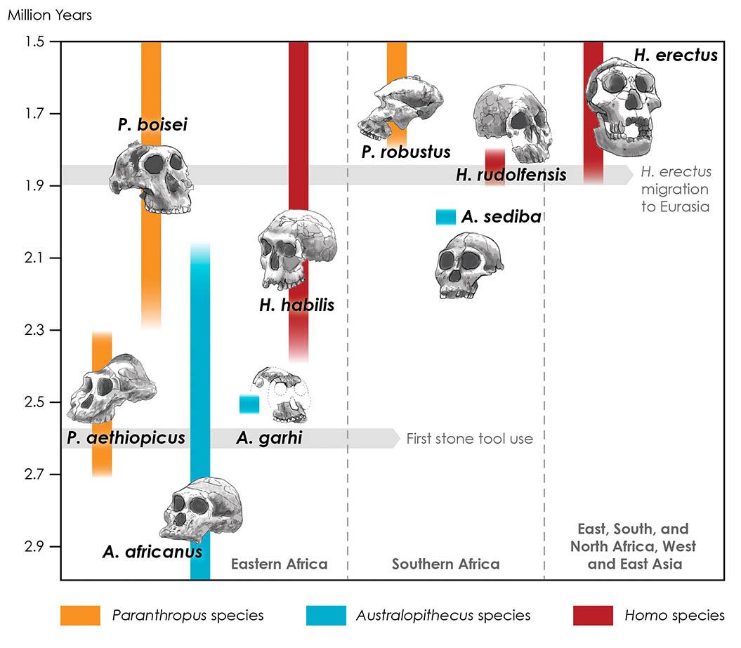 Hominin Timeline
