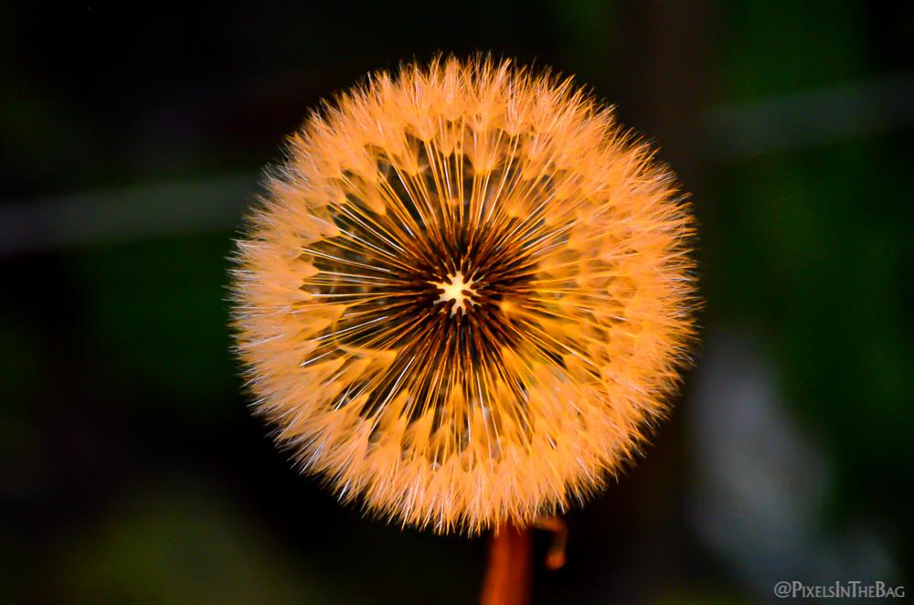 Dandelion in the evening light.