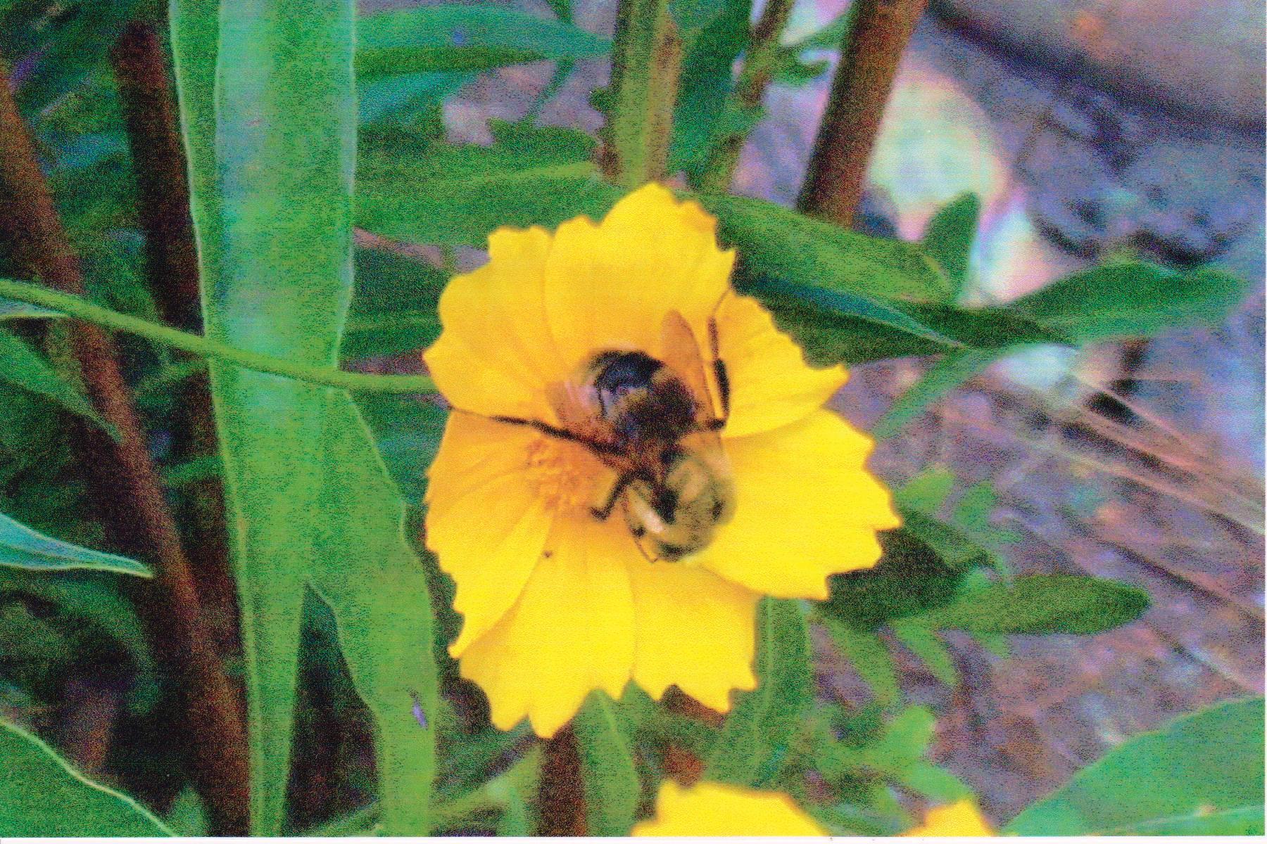 Bee on Flower on walk 2009.jpg