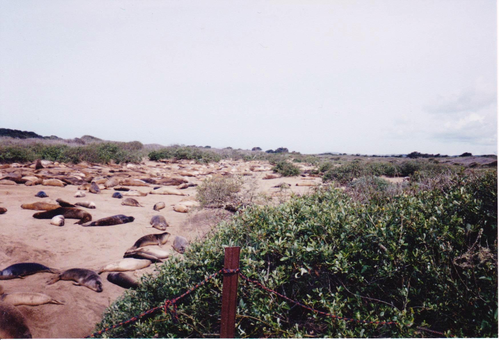 Bunch of sleeping seals on beach Road trip.jpg