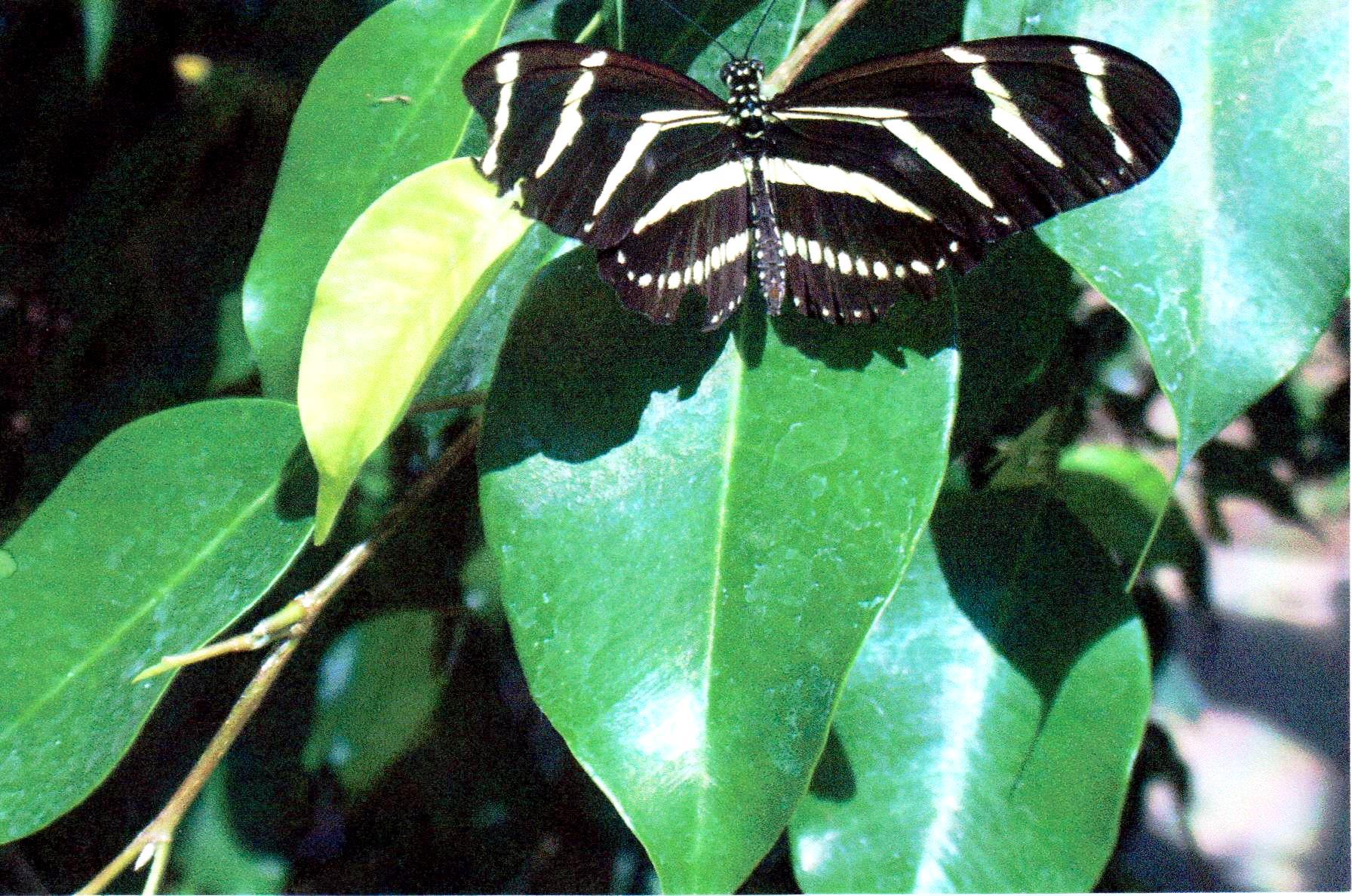 Butteryfly Hogle Zoo 2006 ish.jpg