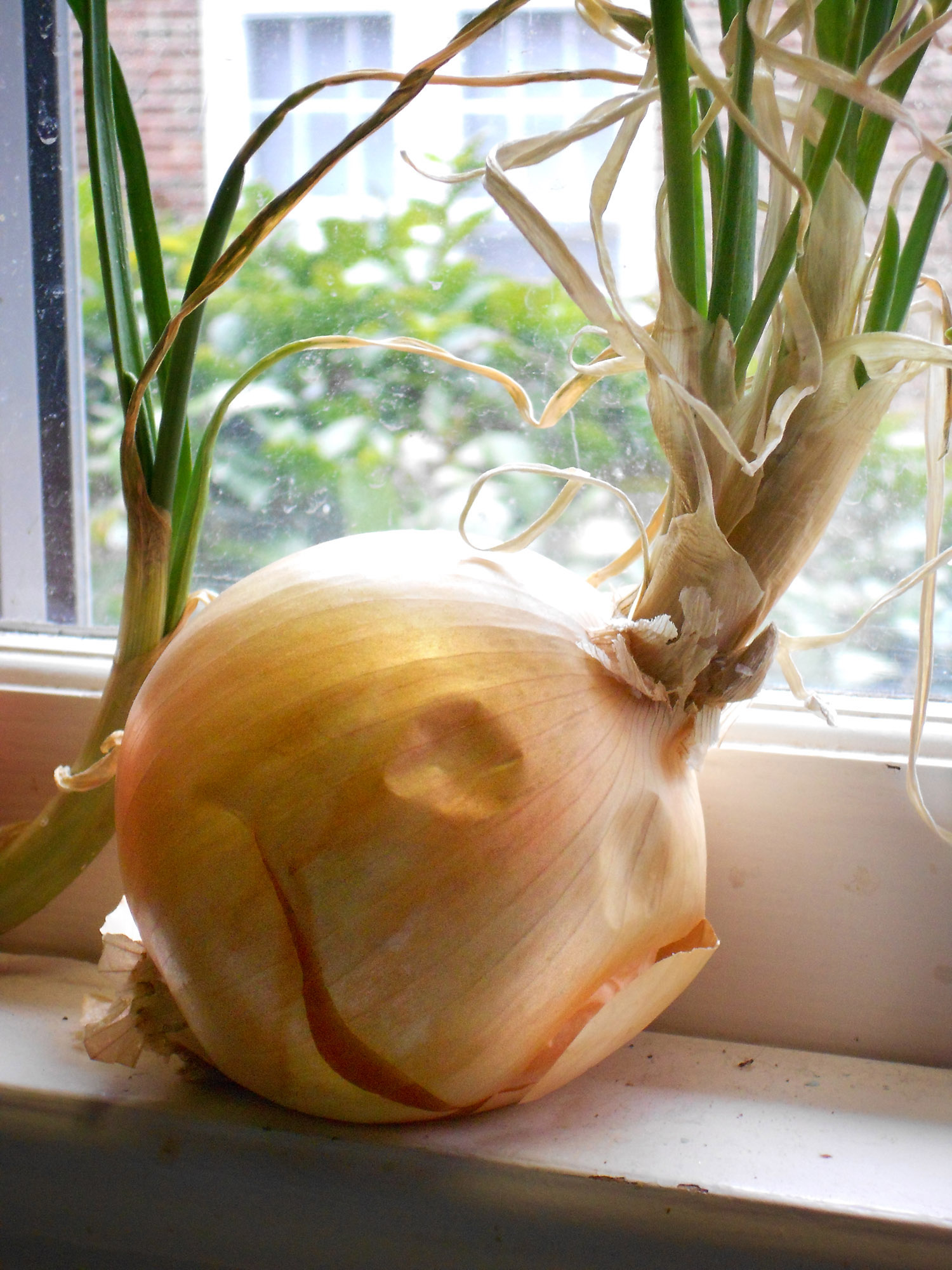 Portrait of the Onion.jpg