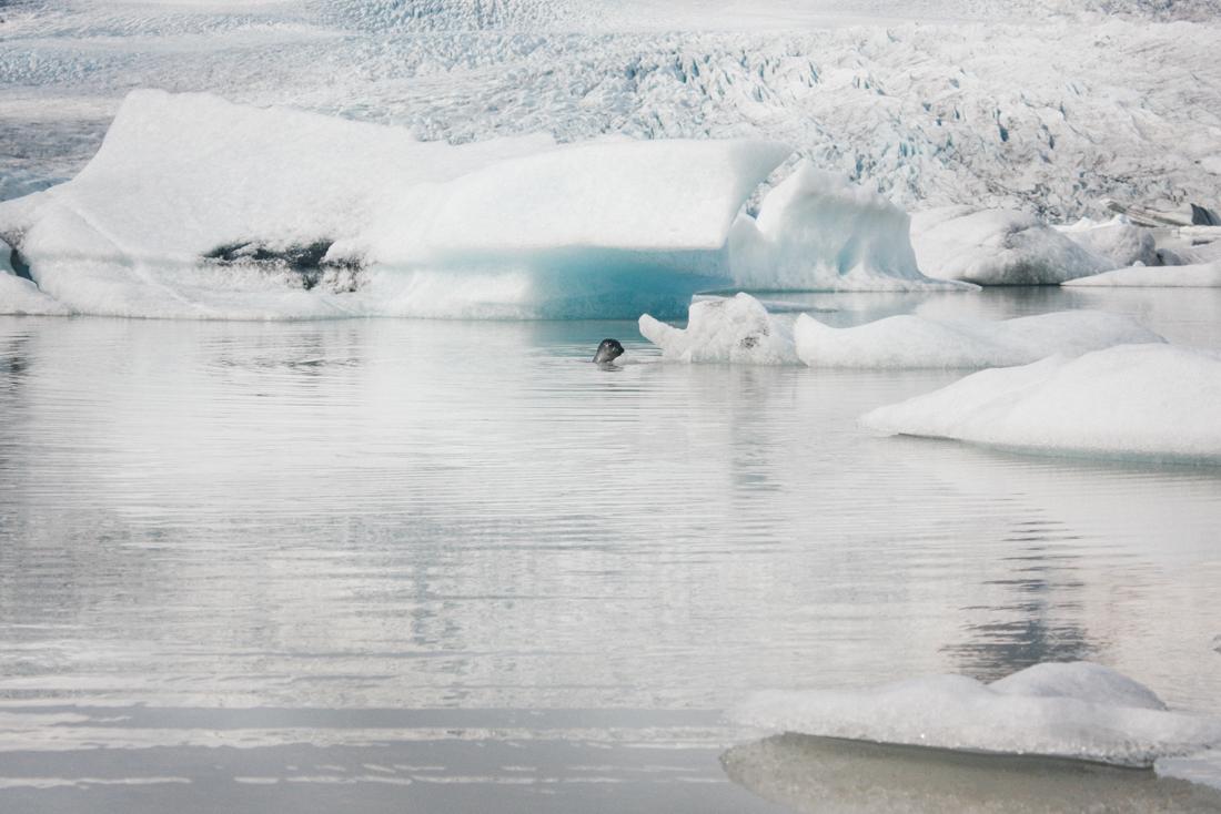 Iceland Glacier Lagoon, seal.png