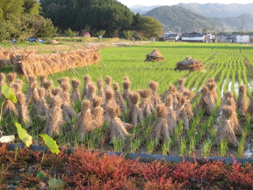 Rice fields in Ogami