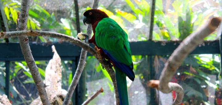 Musk Parrot