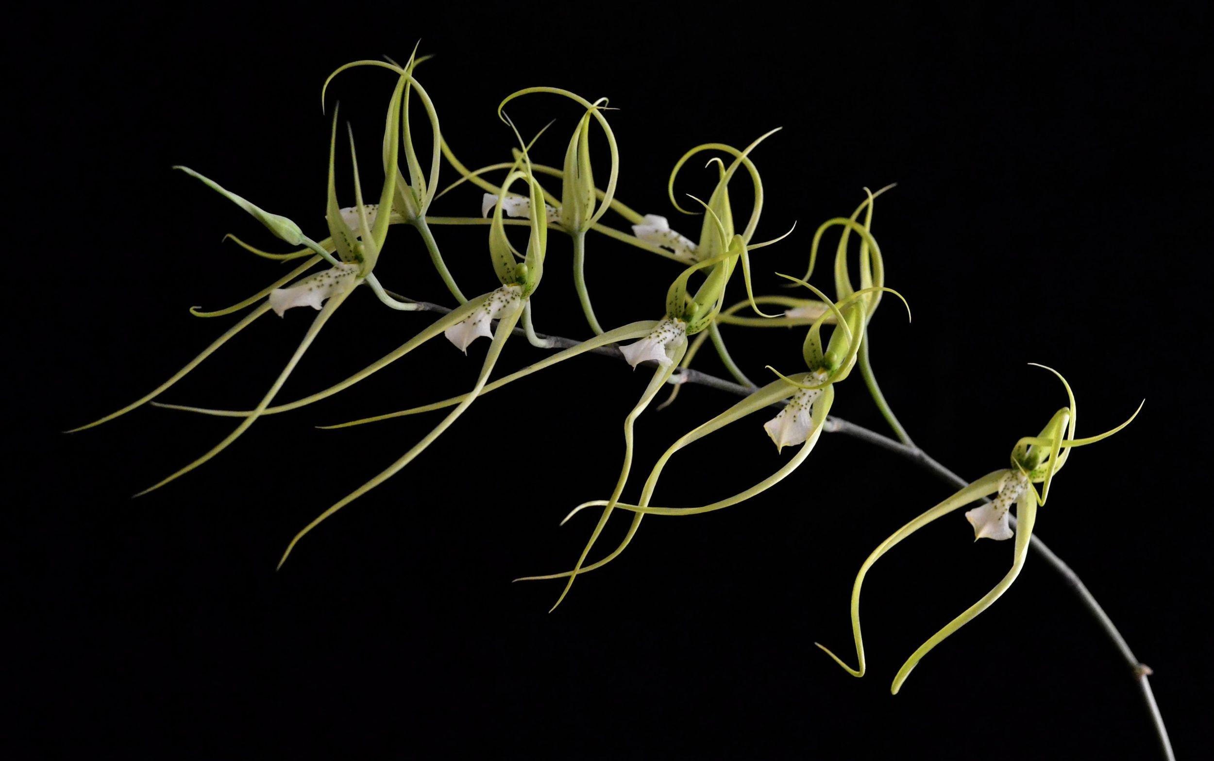 Brassia verrucosa - Oglethorpe Orchids