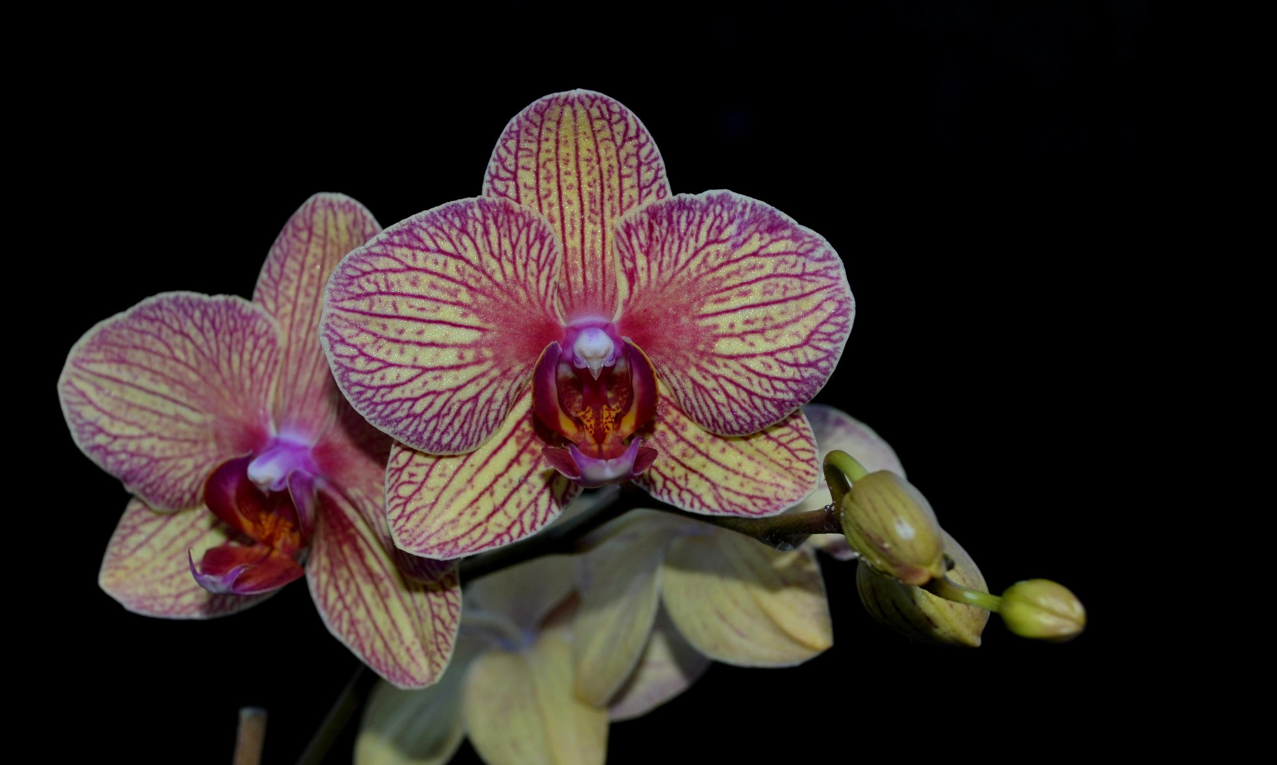 <i>Phalaenopsis</i> Baldan's Kaleidoscope 'Golden Treasure' AM/AOS
