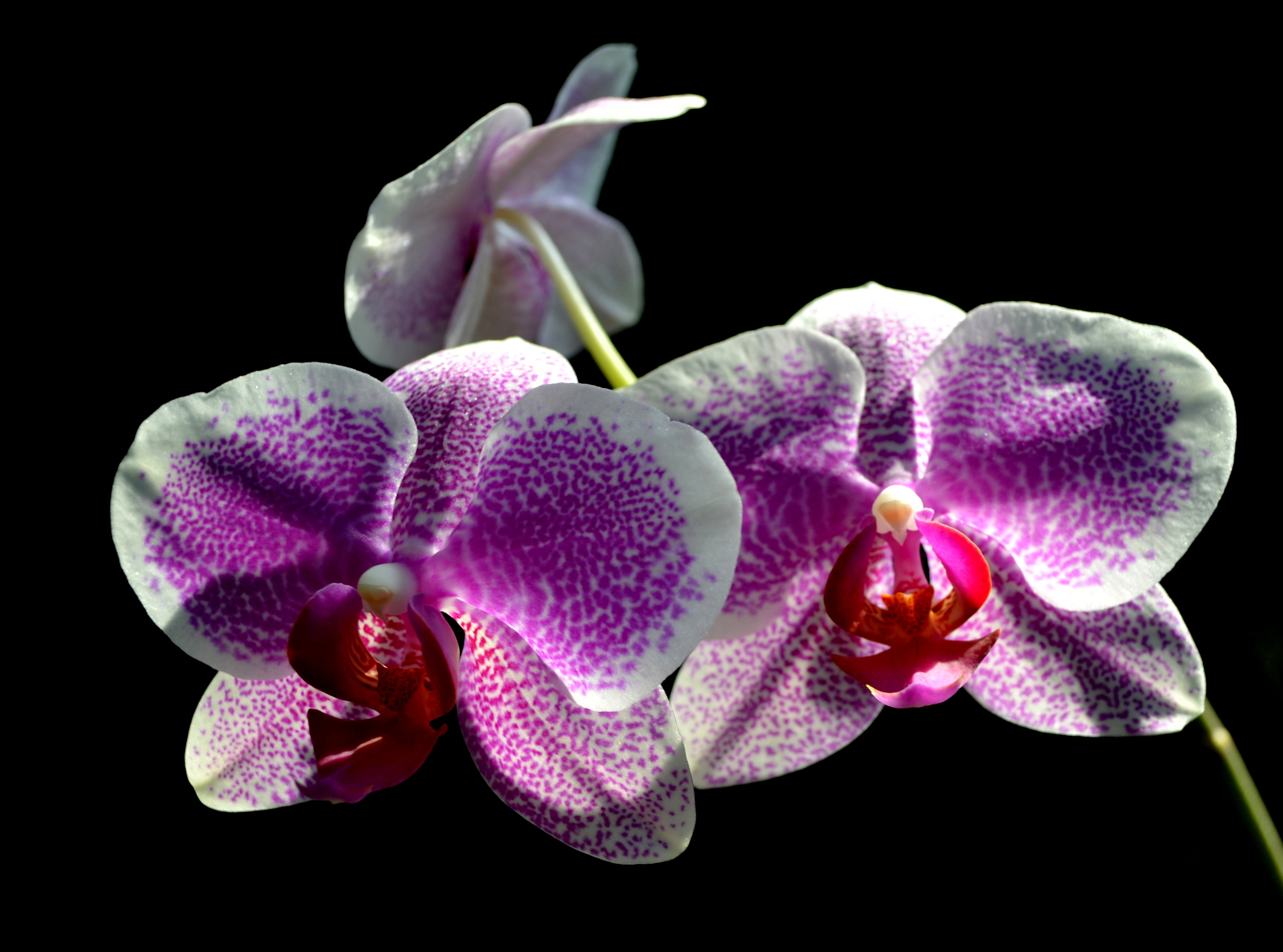 <i>Phalaenopsis</i> Brother Jynx