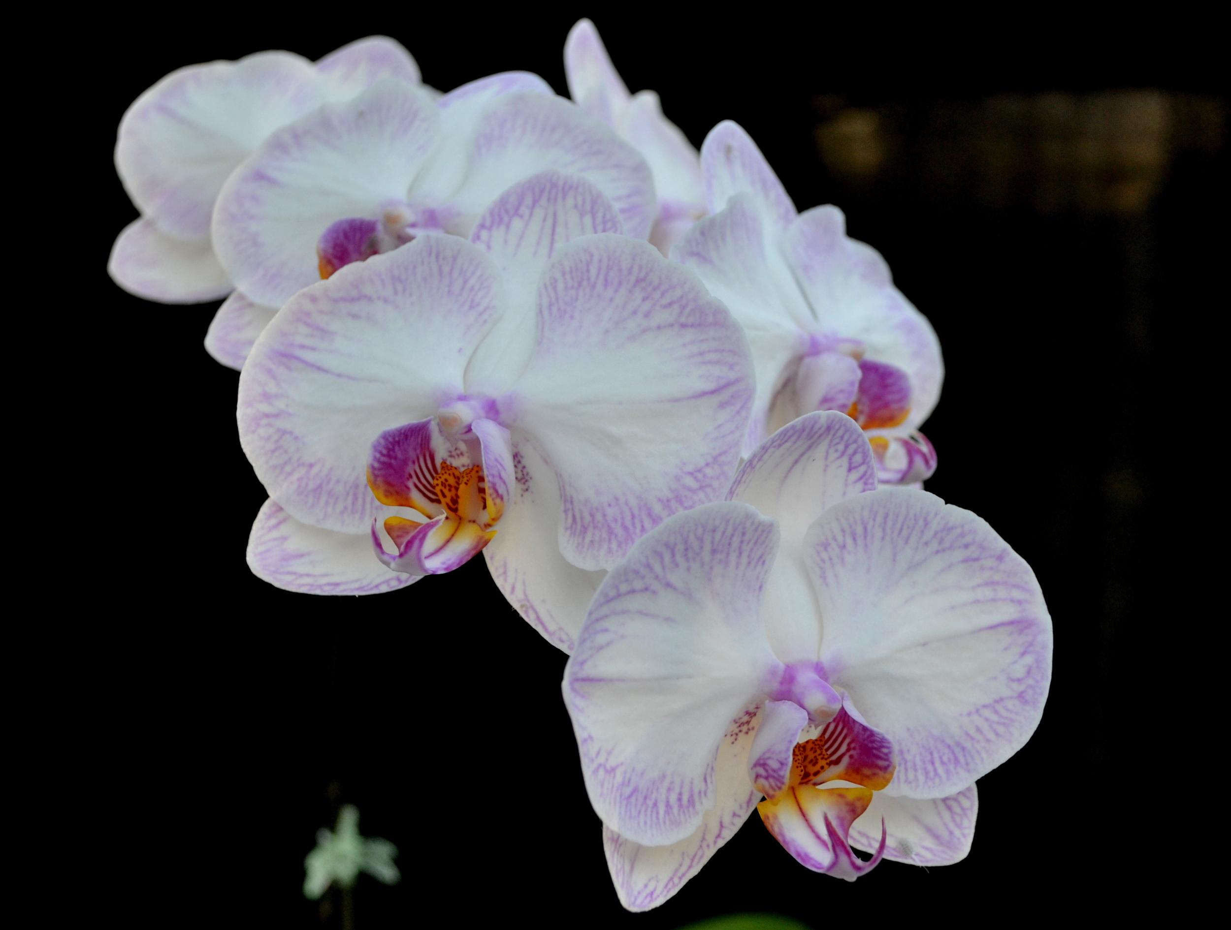 <i>Phalaenopsis</i> Newberry Parfait 'Picotee' AM/AOS.