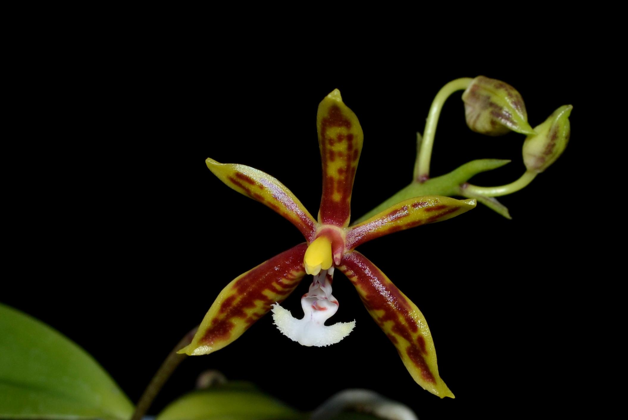 <i>Phalaenopsis mannii</i>
