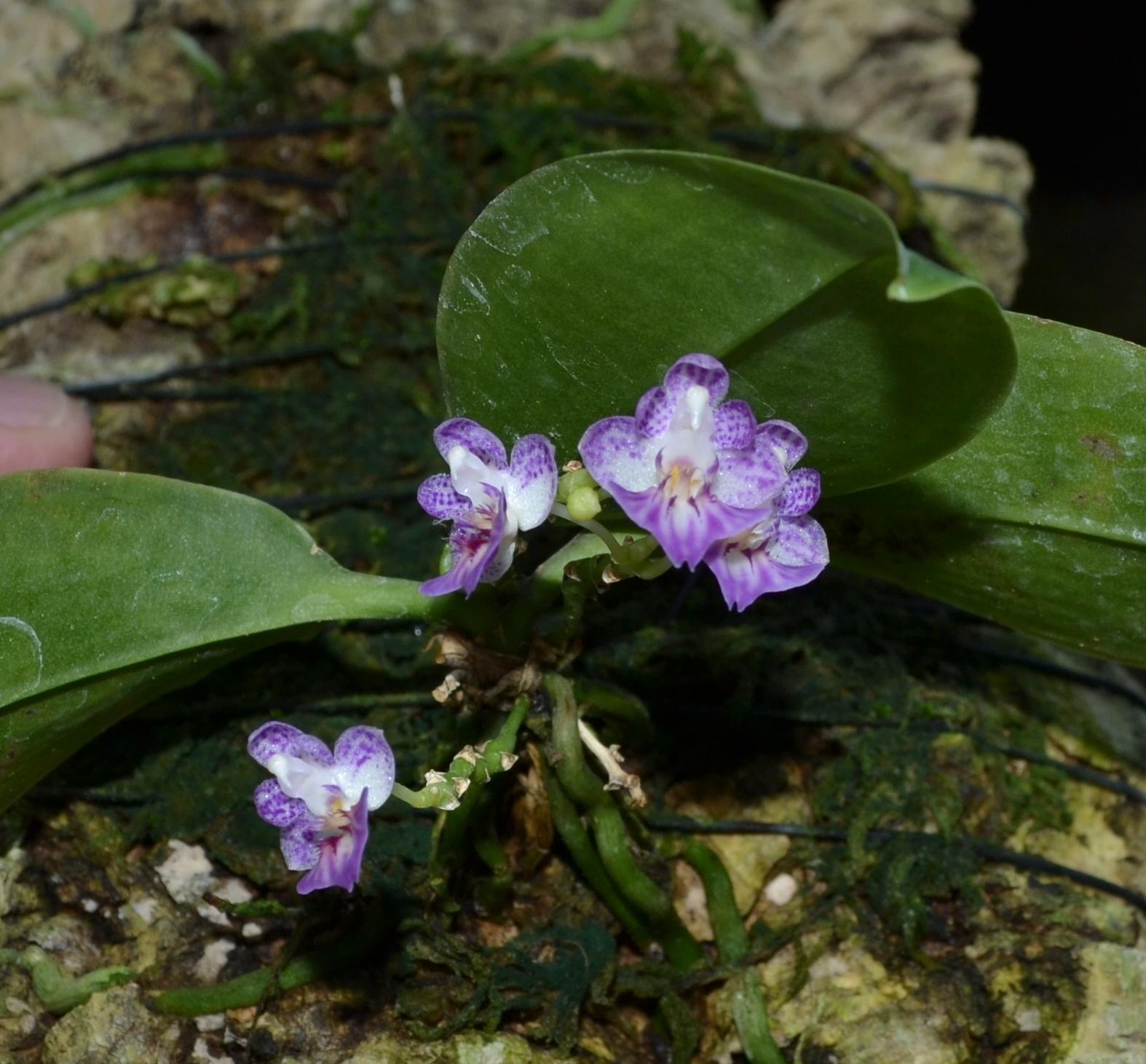 <i>Phalaenopsis appendiculata</i>