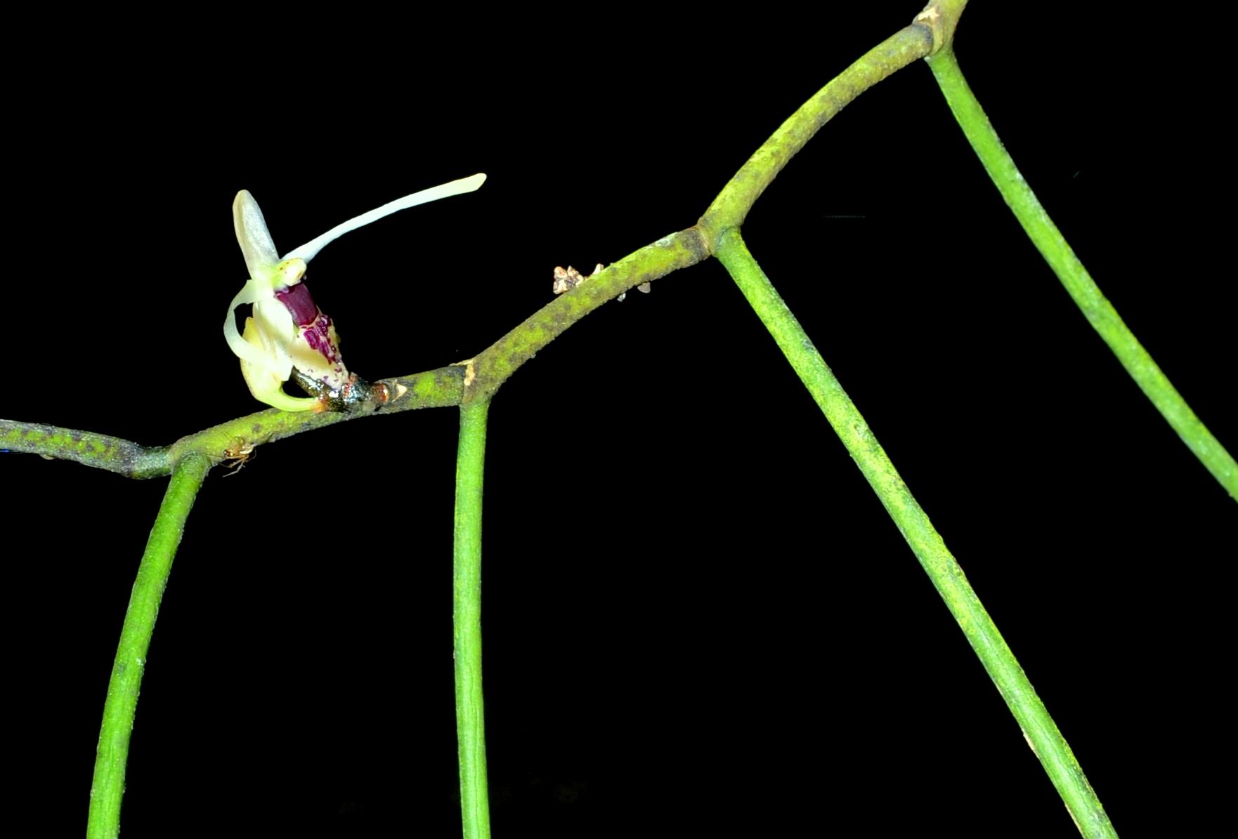 Luisia filiformis 3-8-13close.jpg