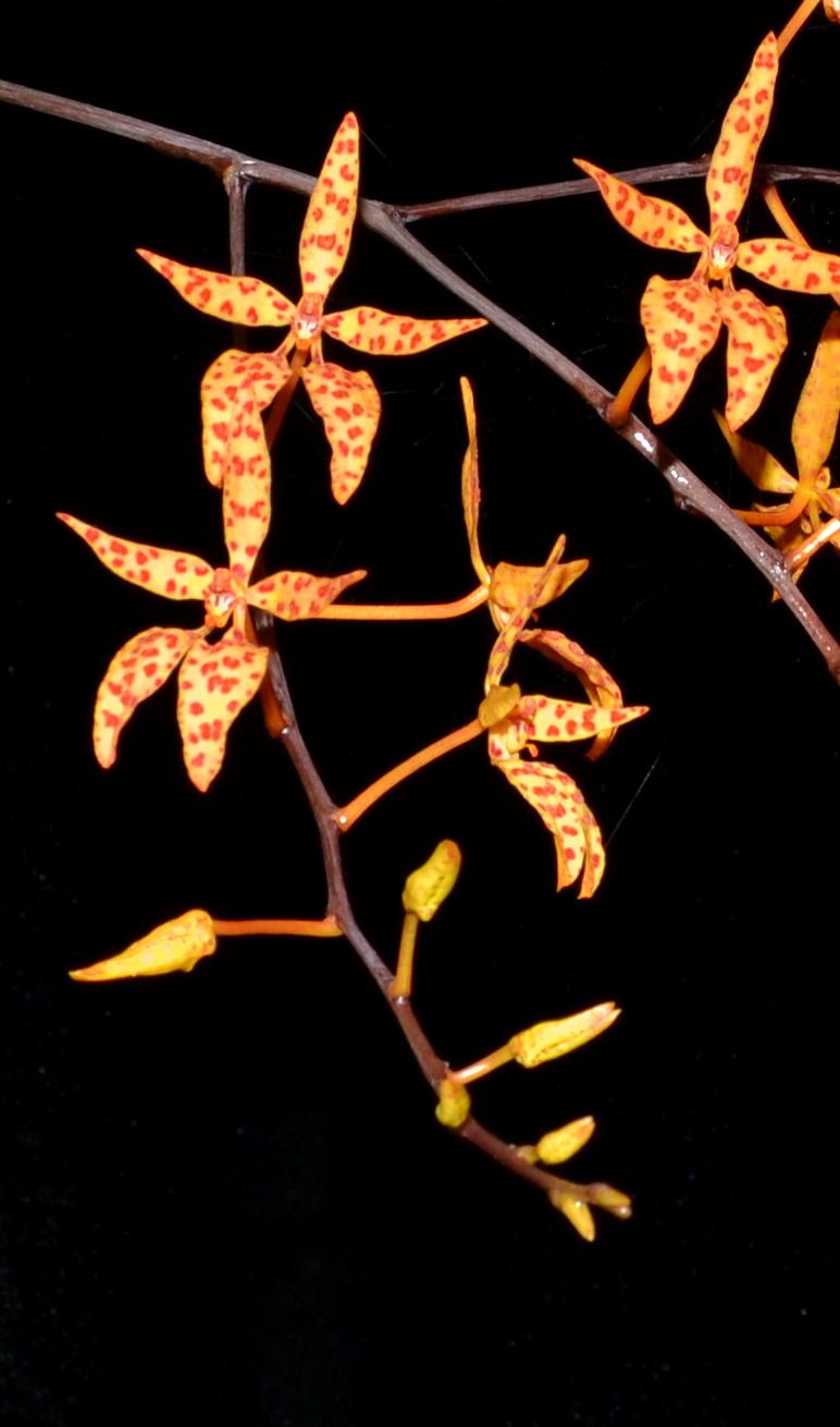 Renanthera monochica 3-8-13close.jpg