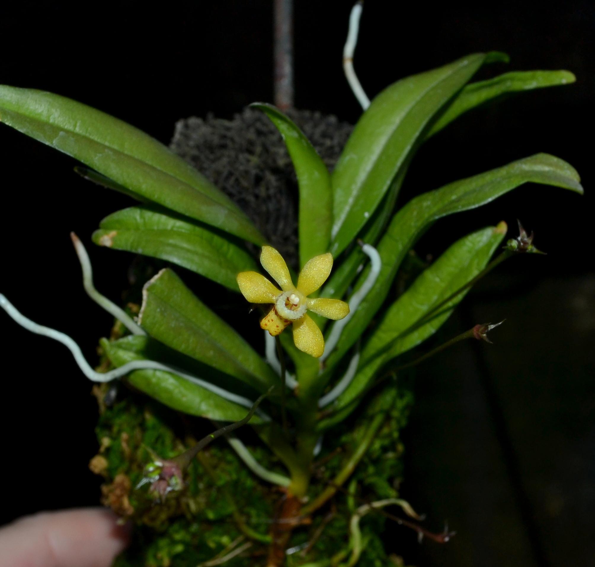 Thrixspermum bromeliforme 3-8-13.jpg