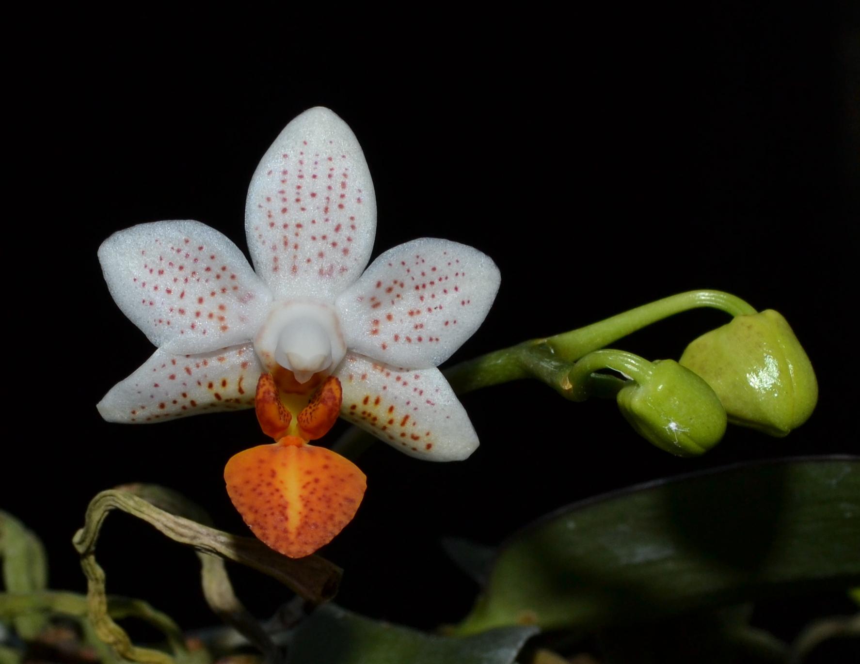 <i>Phalaenopsis</i> Mini Mark 'Holm'
