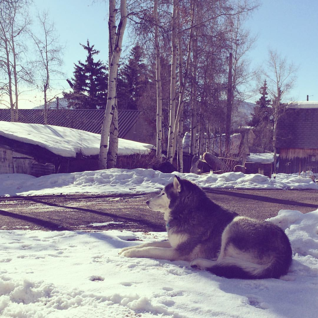 Lupin, the the wolf dog, mascot of Creede.