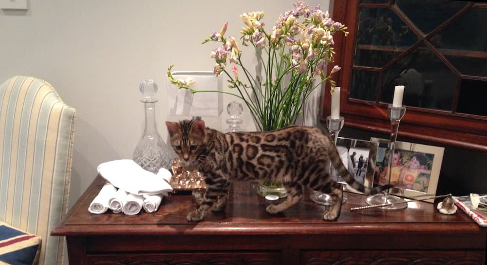 Bengal kitten with local live-in cat sitter in central London
