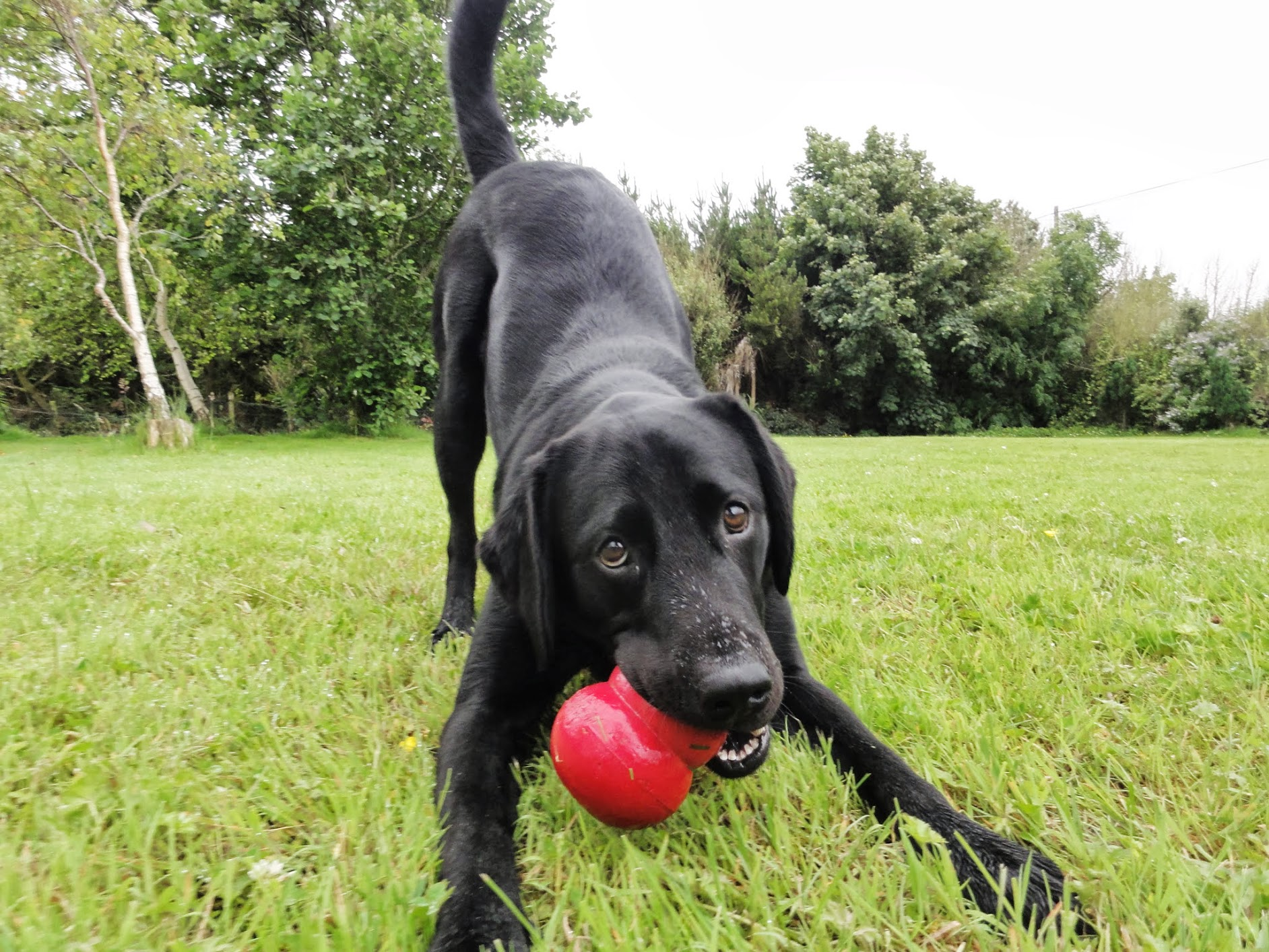 Pic Black Lab Play Kong.JPG
