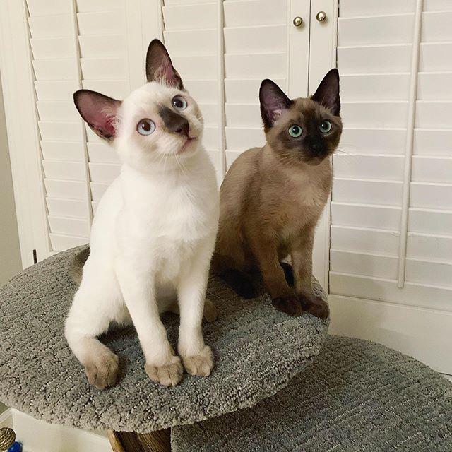 Kiki & Kona ❤️ Tonkinese kittens added to the family.