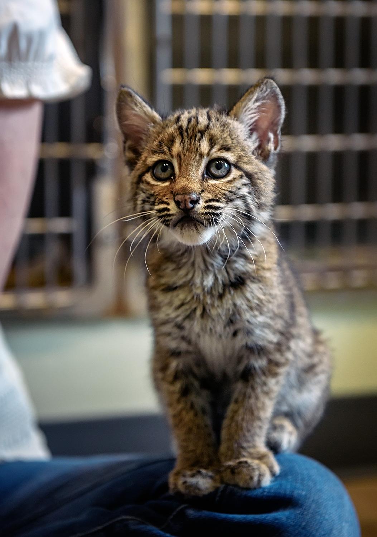 Bobcat Kitten Meets Pamela